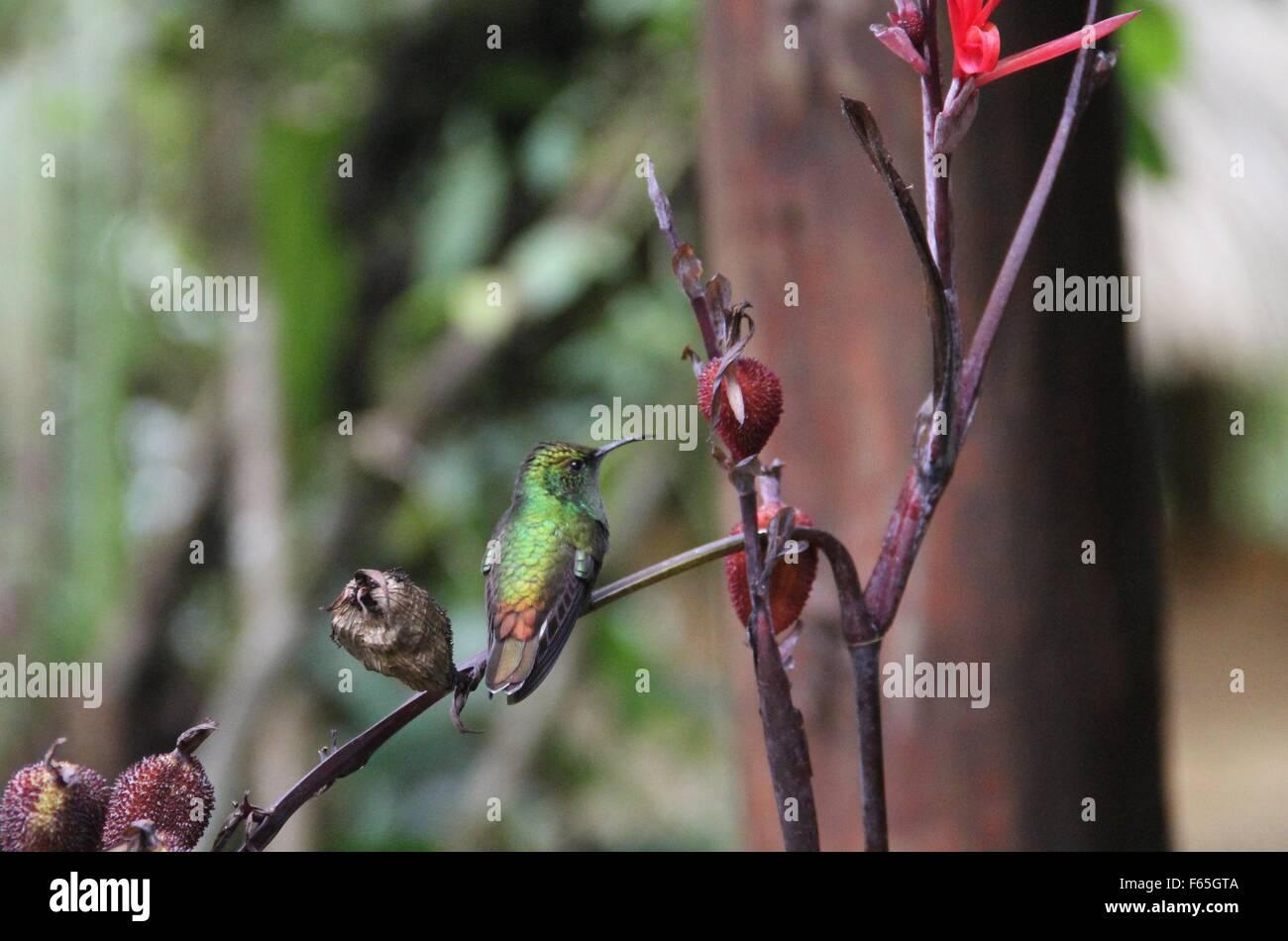 Un colibrí esmeralda de cabeza cobrizos, Elvira cupreiceps Sallacca, posado en la rama. Imagen De Stock