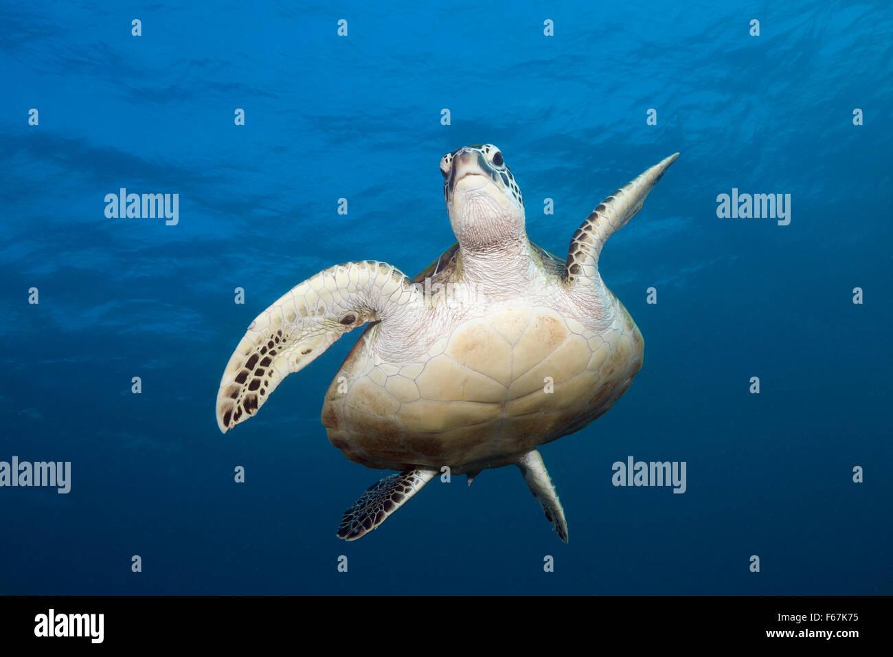 Tortugas marinas verdes, Chelonia mydas, el Parque Nacional de Komodo (Indonesia) Imagen De Stock