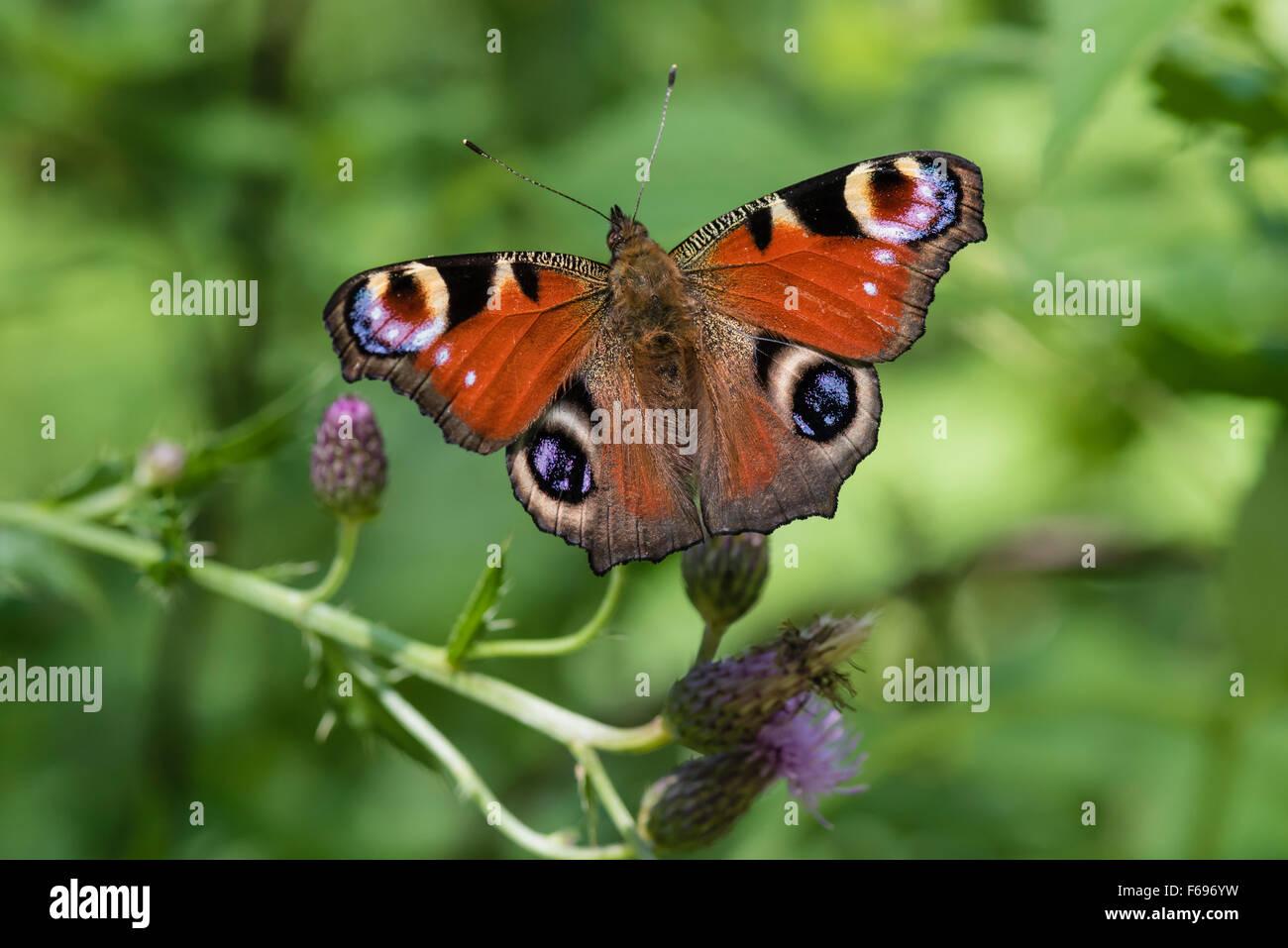 Aglais Tagpfauenauge, Io, Europa mariposa pavo real Imagen De Stock