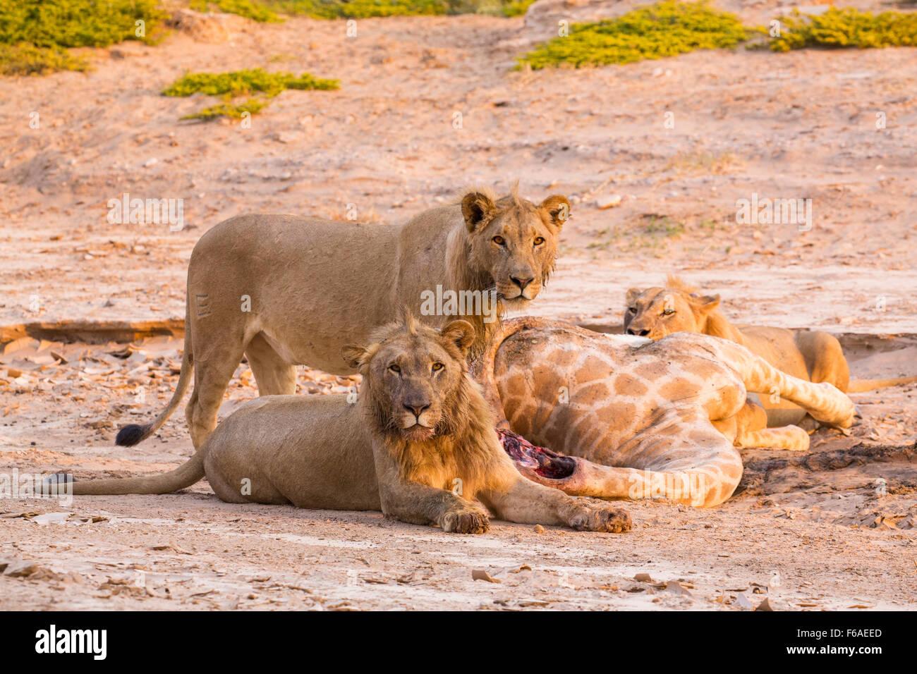 Orgullo de león jirafa matar en Kaokoveld, Namibia, África Imagen De Stock