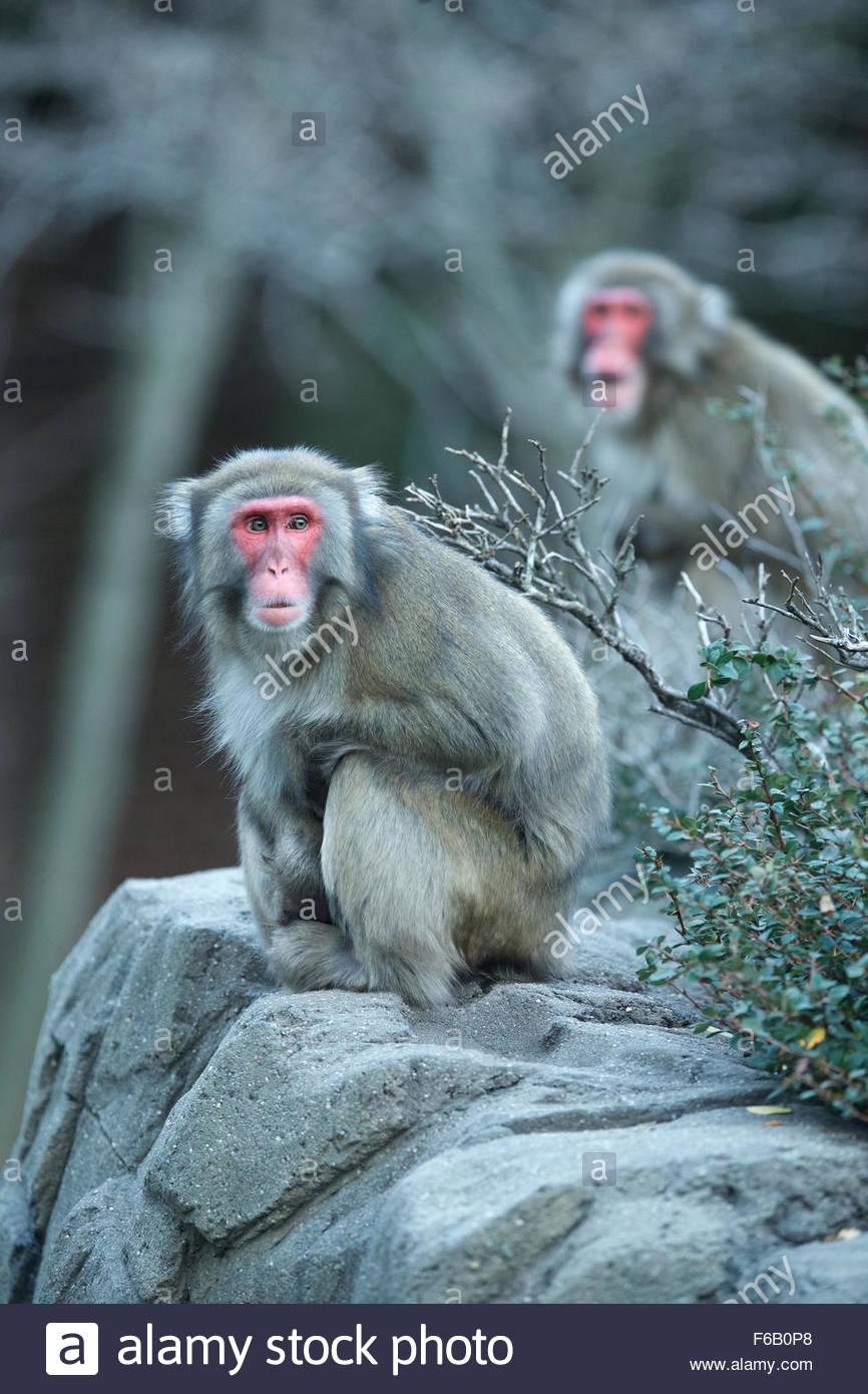 Nieve (monos macacos japoneses) aportan Imagen De Stock