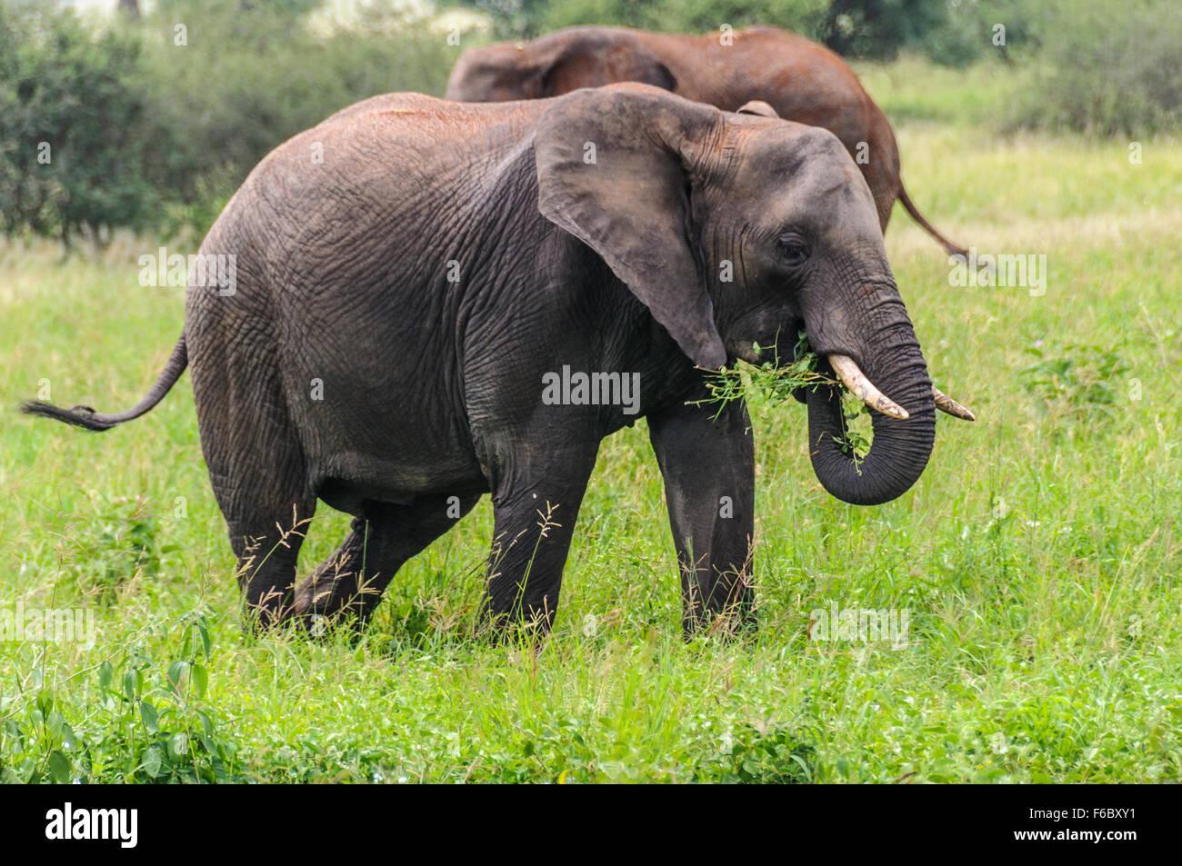 Comer elefantes en el Parque Nacional Tarangire, Tanzania Imagen De Stock