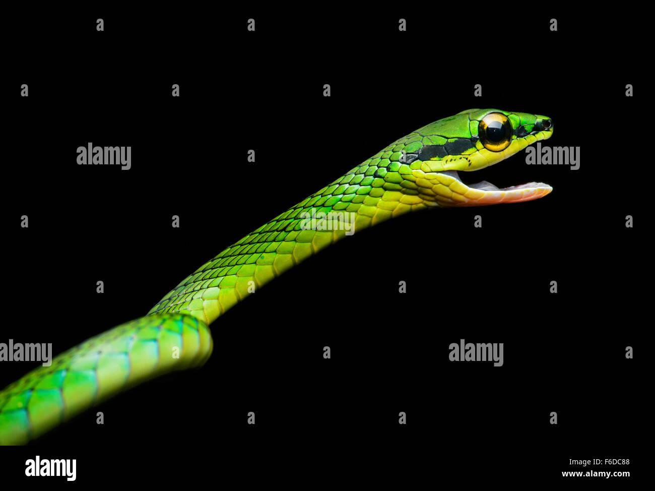 Vid Cope Snake (Oxybelis brevirostris), (familia Colubridae), Chocó rainforest, Ecuador Foto de stock