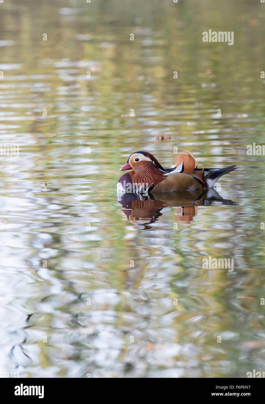 Pato mandarín (Aix galericulata) macho (drake). La especie es nativa de Asia, pero las razas ferally en partes de Europa y Gran Bretaña. Foto de stock
