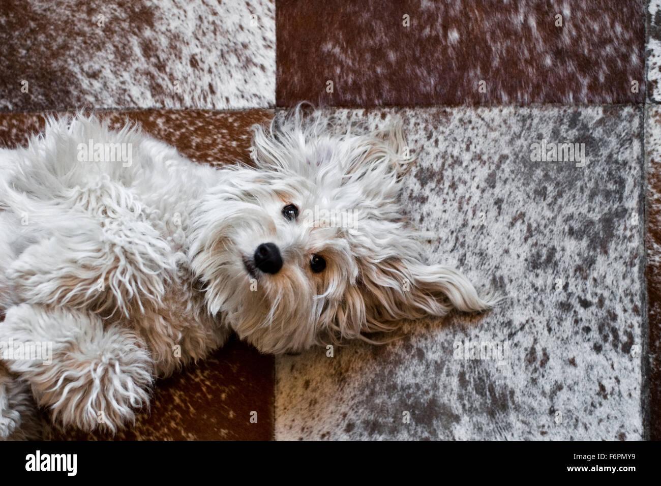 Diversión light hearted shaggy blanco perro mutt sentar en la espalda el contacto visual mirando a cámara Imagen De Stock