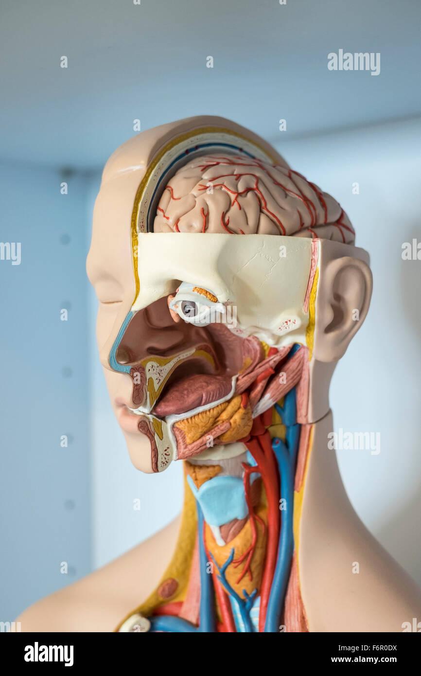 Modelo médico anatomía humana biología anatómica Imagen De Stock