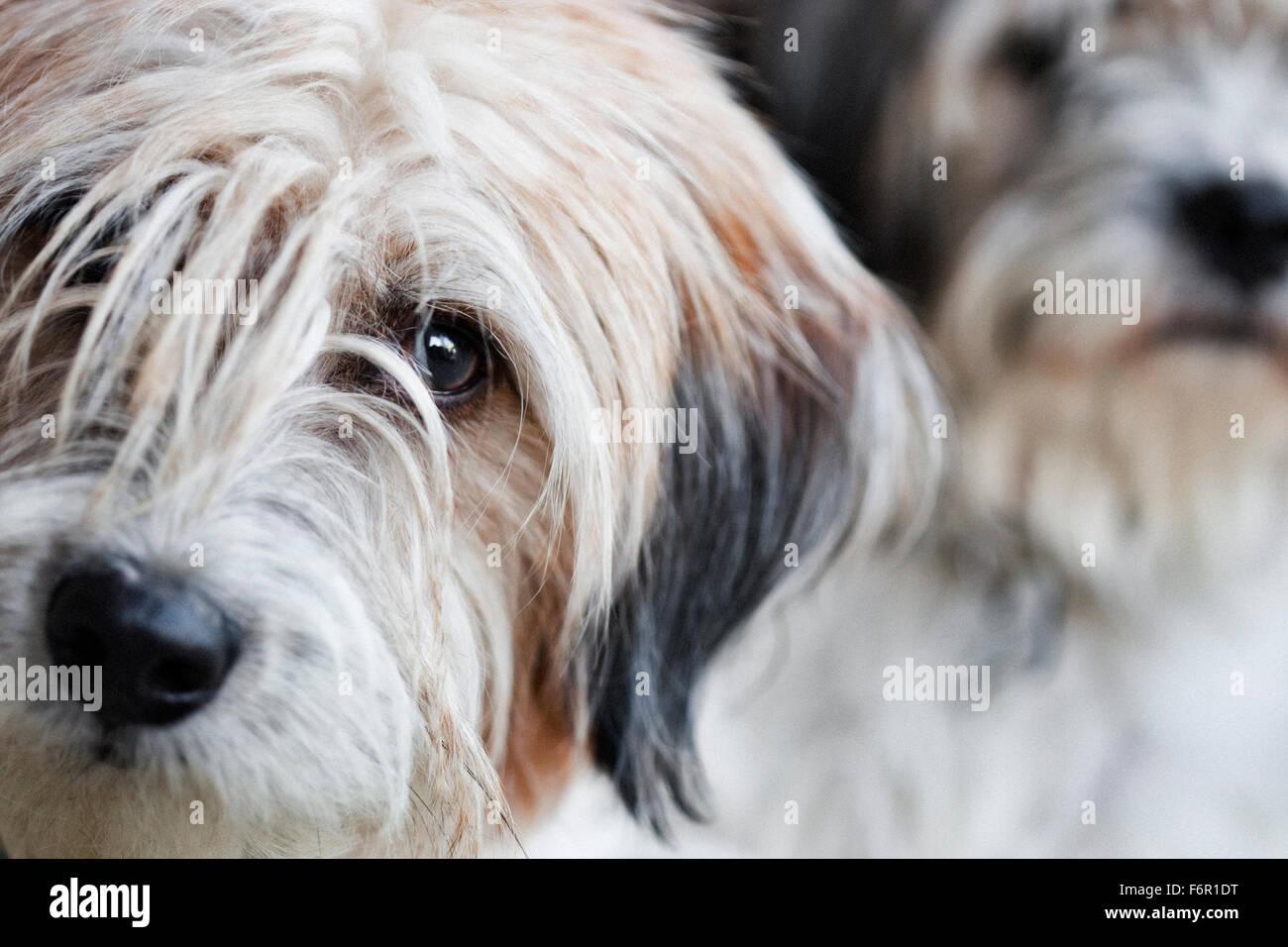 Dos shaggy luz coloró terrier mix perros, uno mirando soulful en primer plano un estoico en segundo plano. Imagen De Stock