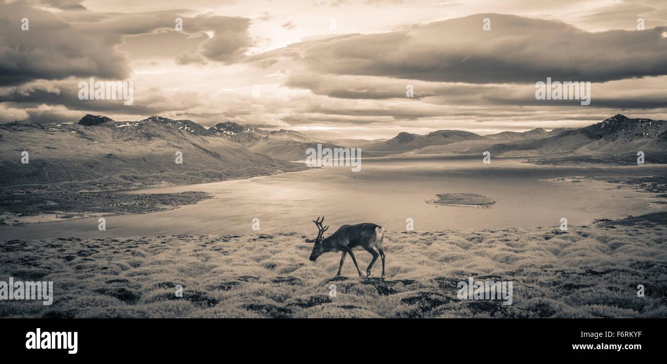 Encuesta de reno los fiordos cerca de Tromso, en el norte de Noruega. Imagen De Stock