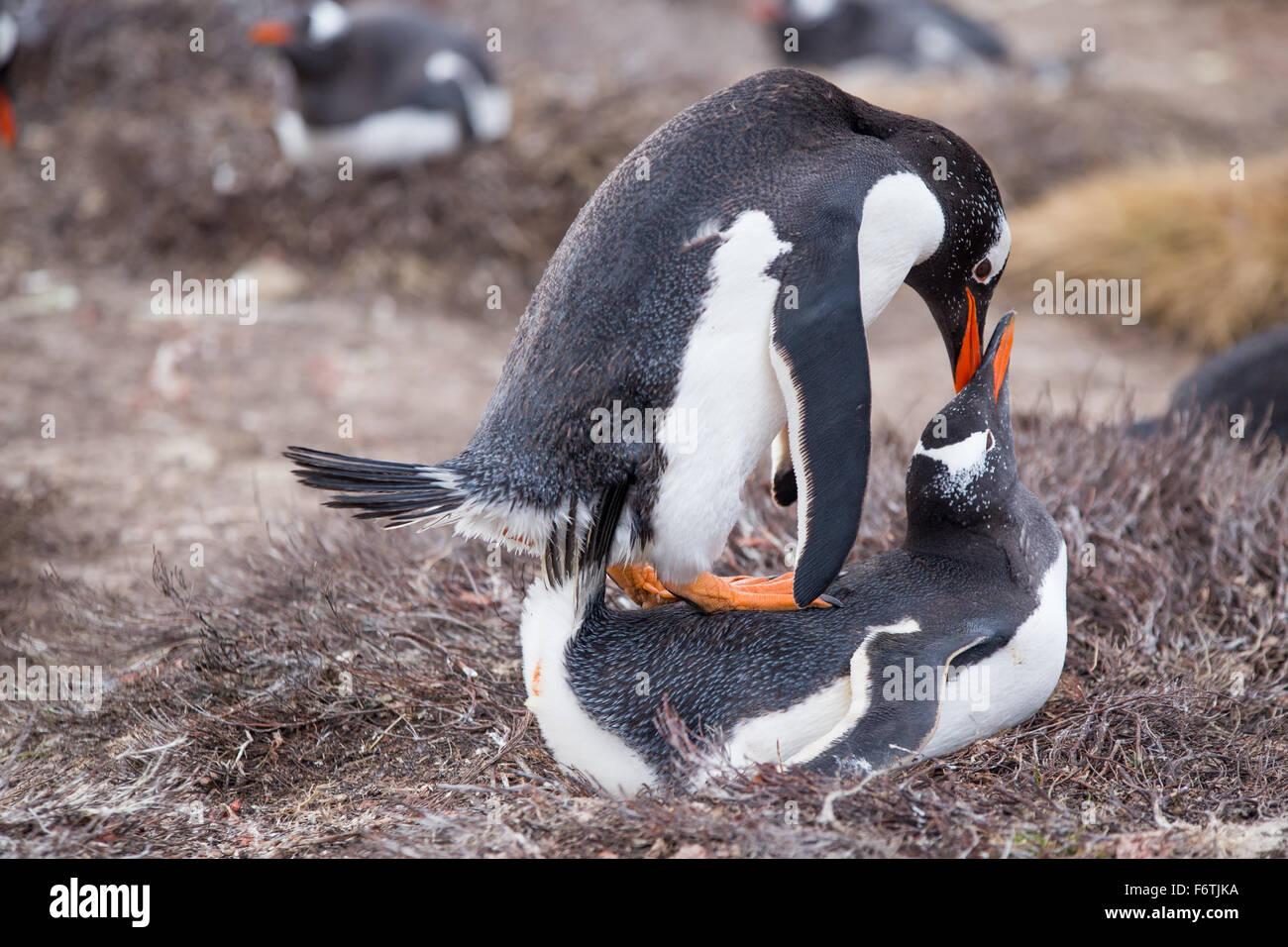 Pingüinos papúa (Pygoscelis papua) apareamiento. Las Islas Malvinas. Imagen De Stock