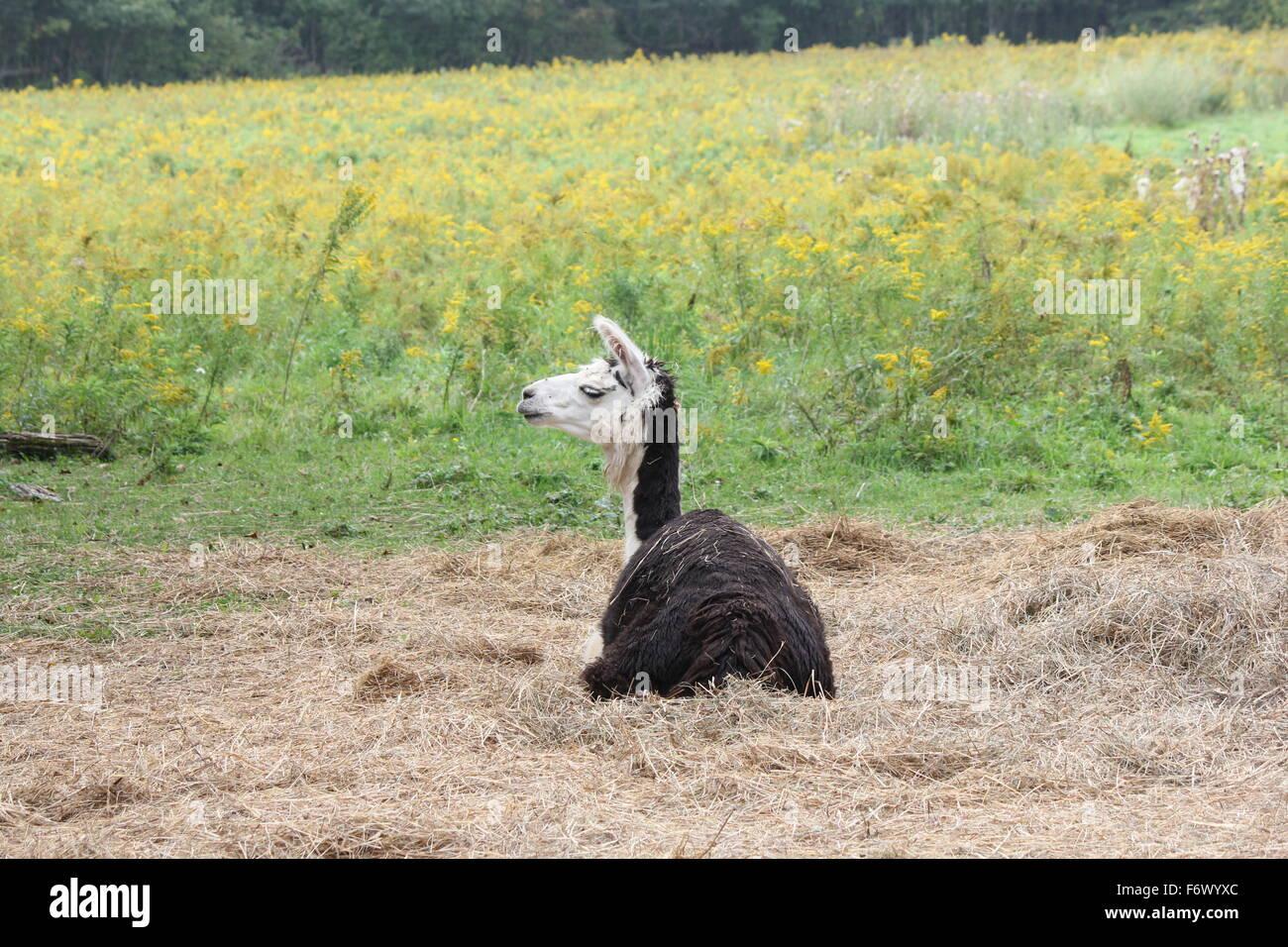Llama en una pequeña granja de pasatiempo, tendido sobre un montón de paja. La llama es un camélido Imagen De Stock