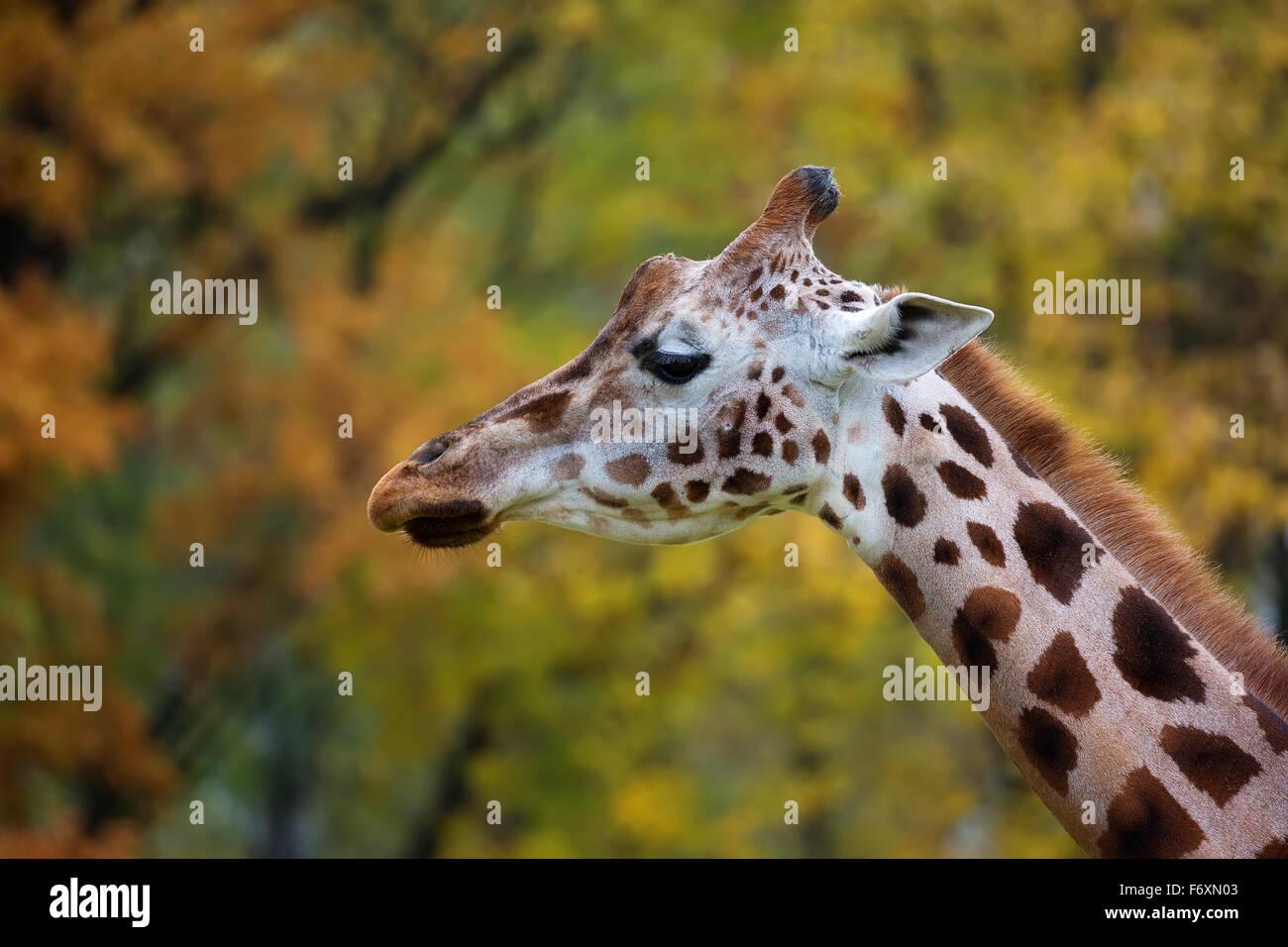Jirafa, un perfil Imagen De Stock