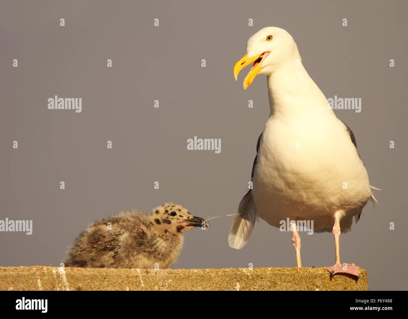 Un bebé Gaviota occidental al tirar de su padre's Tail y obtener una respuesta. Imagen De Stock
