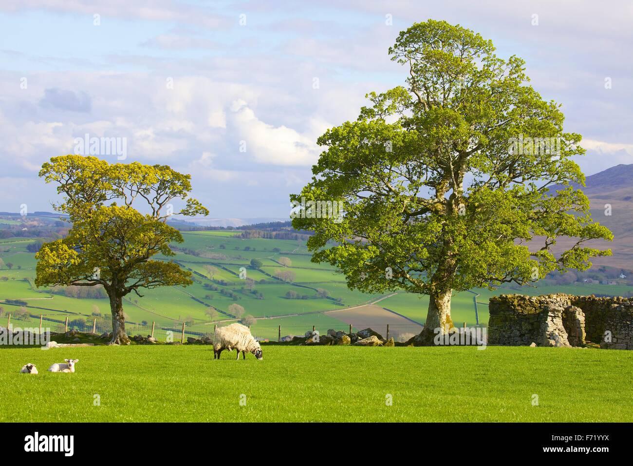 Parque Nacional del Lake District. Árbol con hojas de resorte y ovejas con corderos en campo por el muro de Imagen De Stock