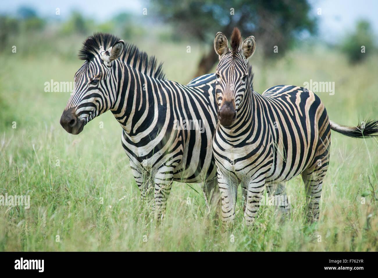 Sudáfrica: Parque Nacional Kruger (zebra Equus burchelli) Imagen De Stock