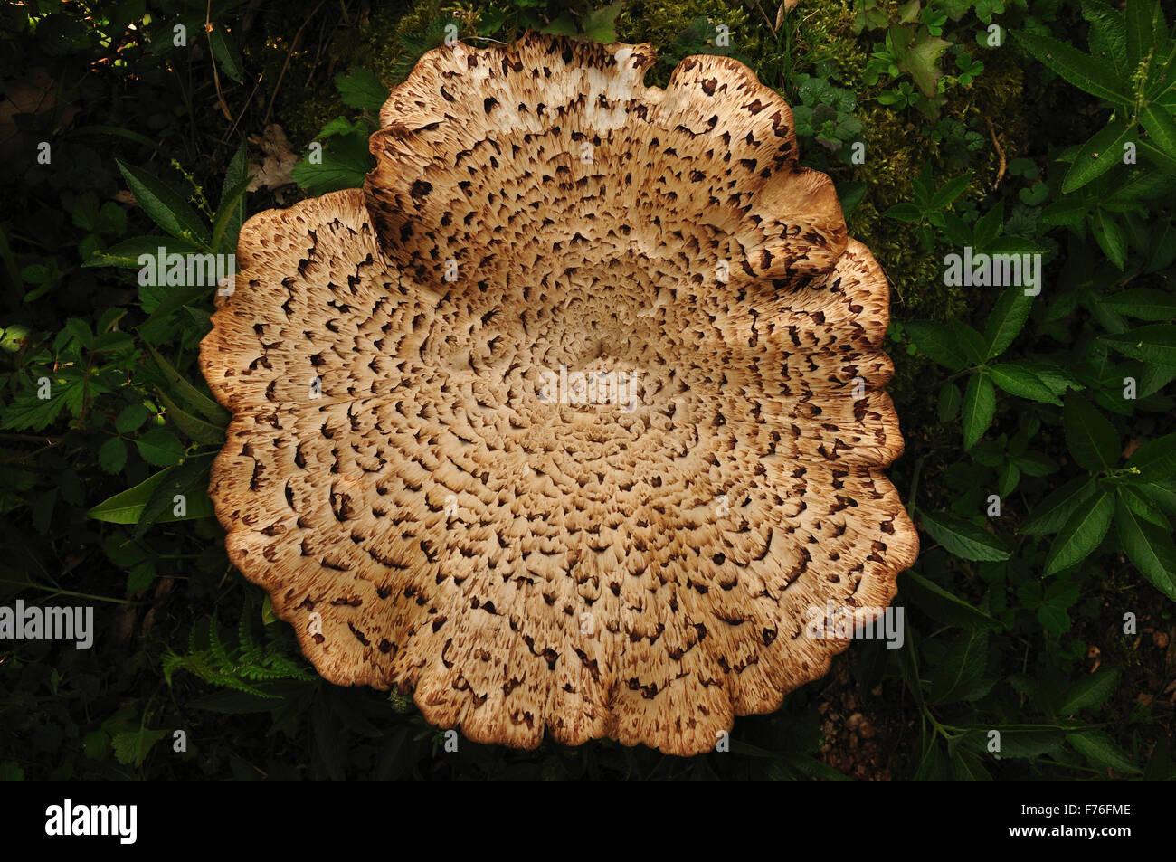 Caballete de las dríadas polypore o escamosas. Imagen De Stock