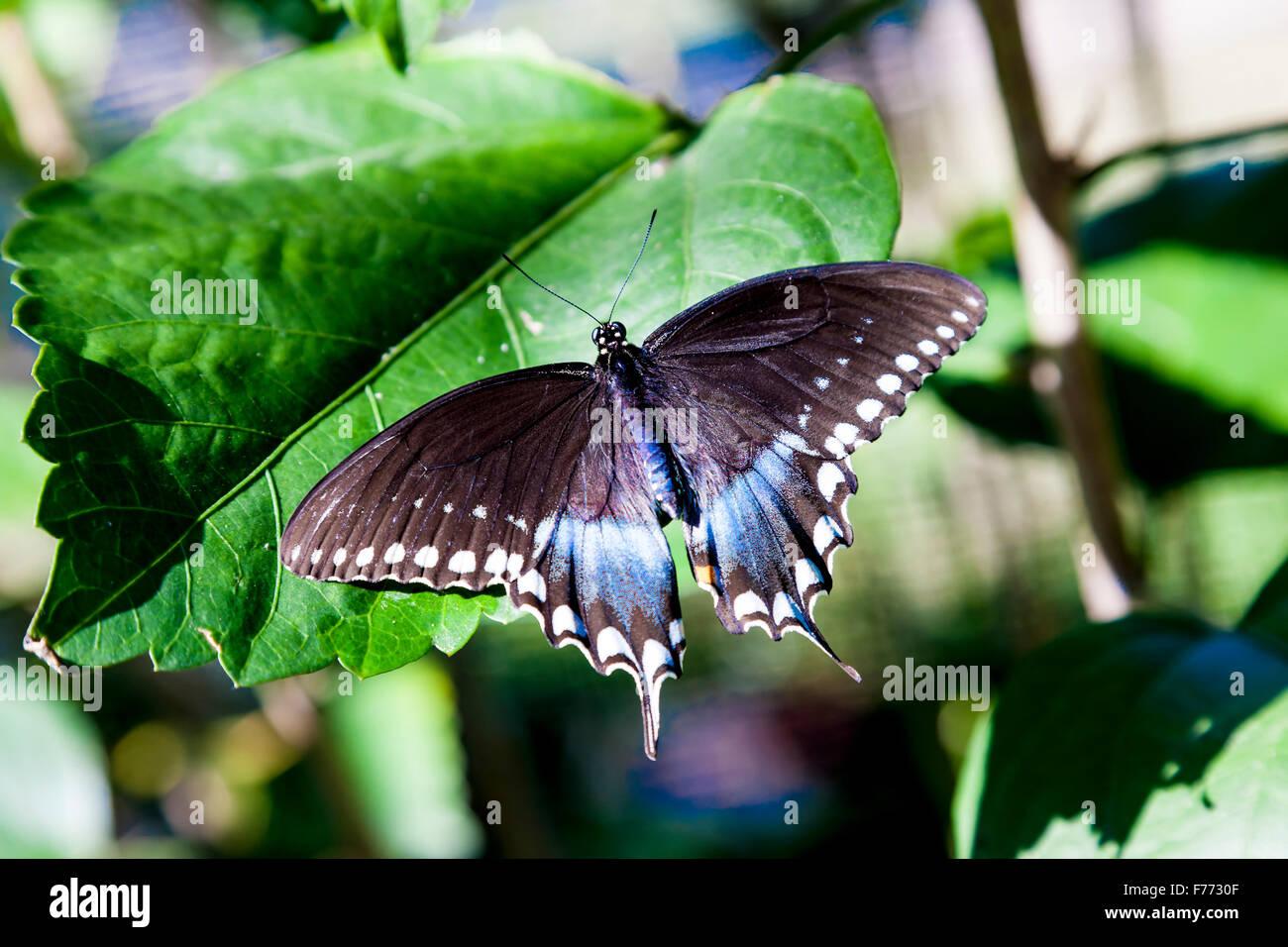 Papilio Troilo. Spicebush especie. Charleston, Carolina del Sur. Foto de stock