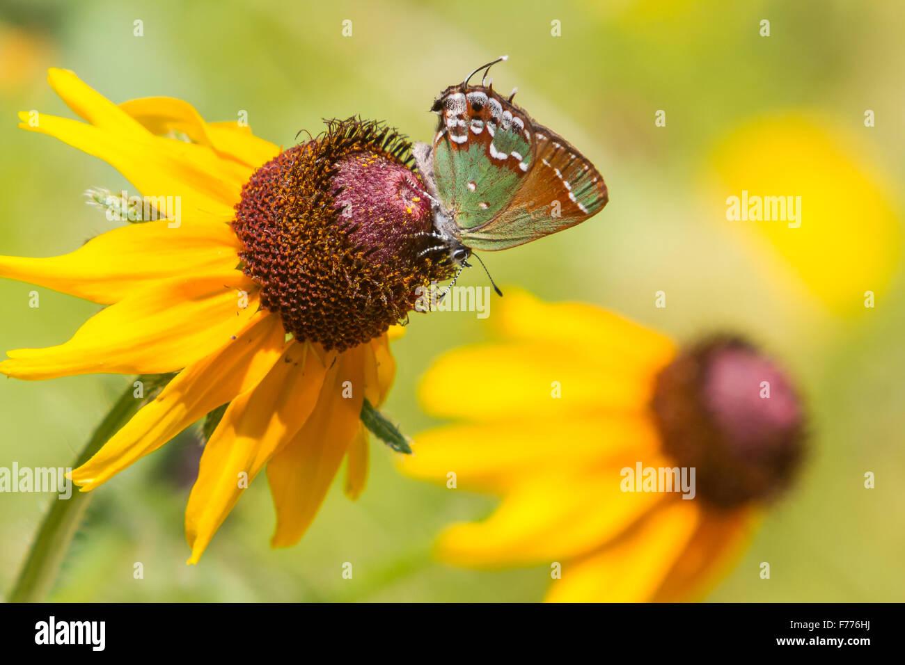 Juniper, Callophrys Hairstreak gryneus, alimentándose de una Blackeyed Susan, Rudbeckia hirta Foto de stock