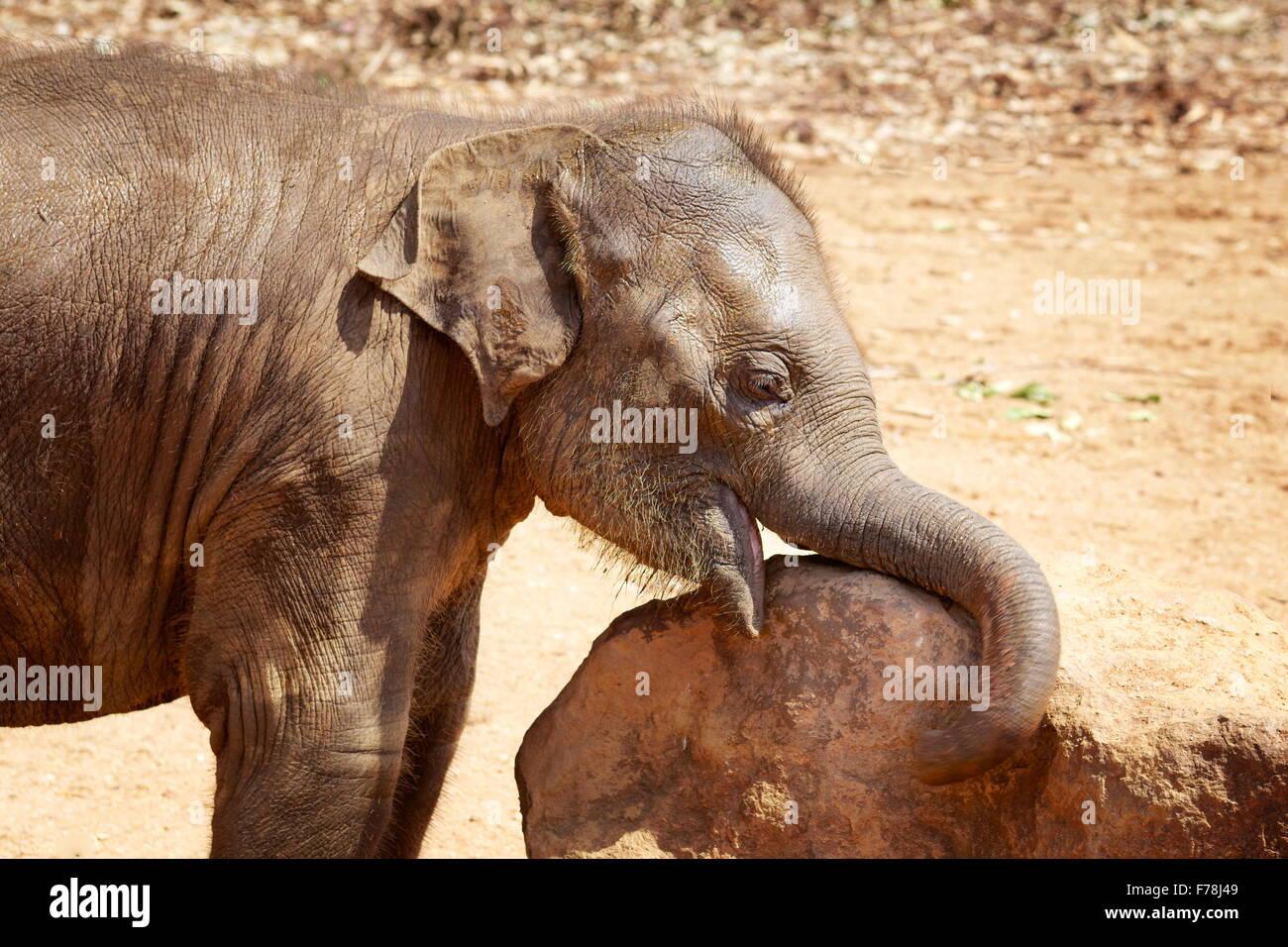 Pequeño lindo bebé elefante , Sri Lanka Foto de stock