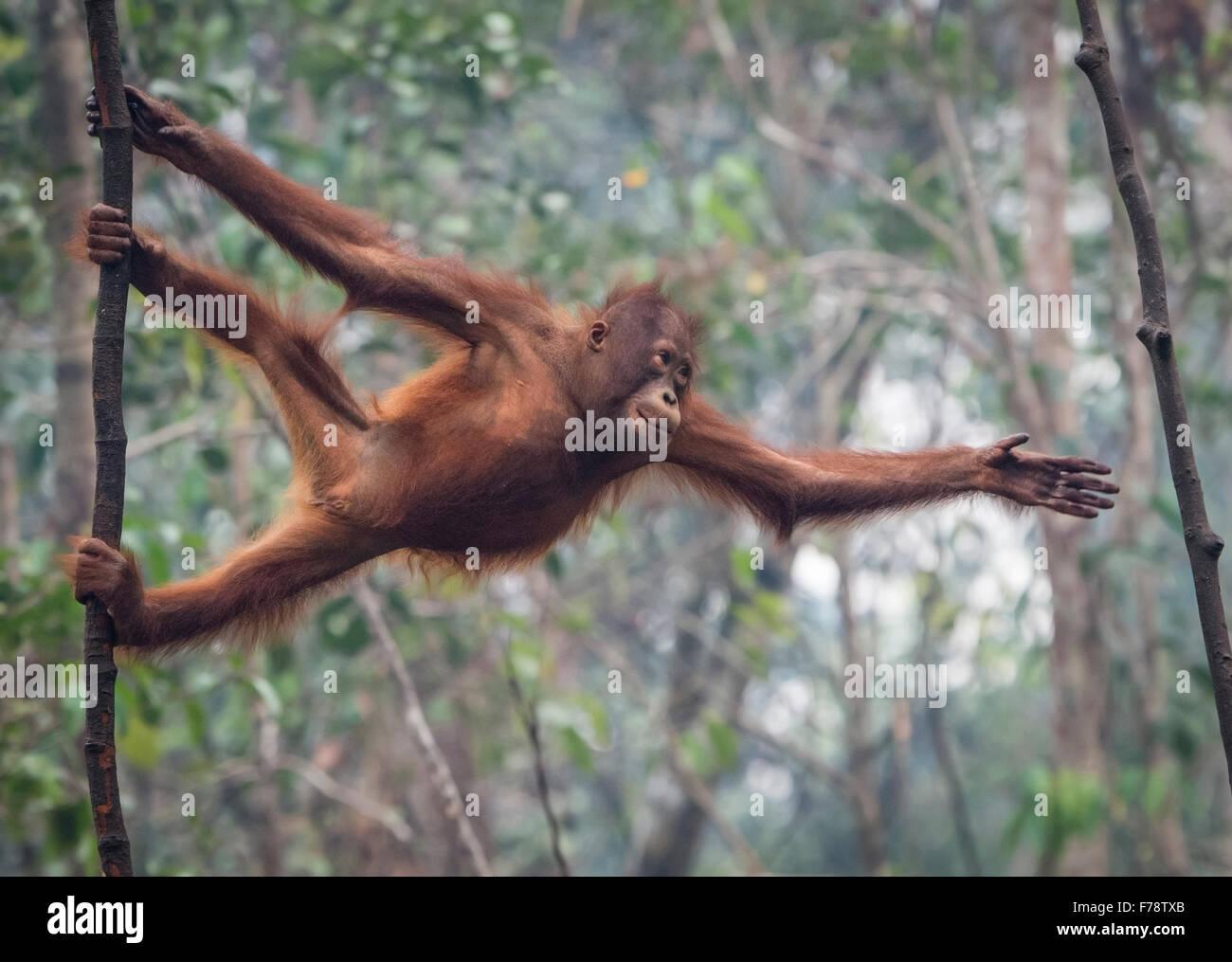 Bornean joven orangután (Pongo pygmoeus) se estira para alcanzar siguiente árbol Imagen De Stock
