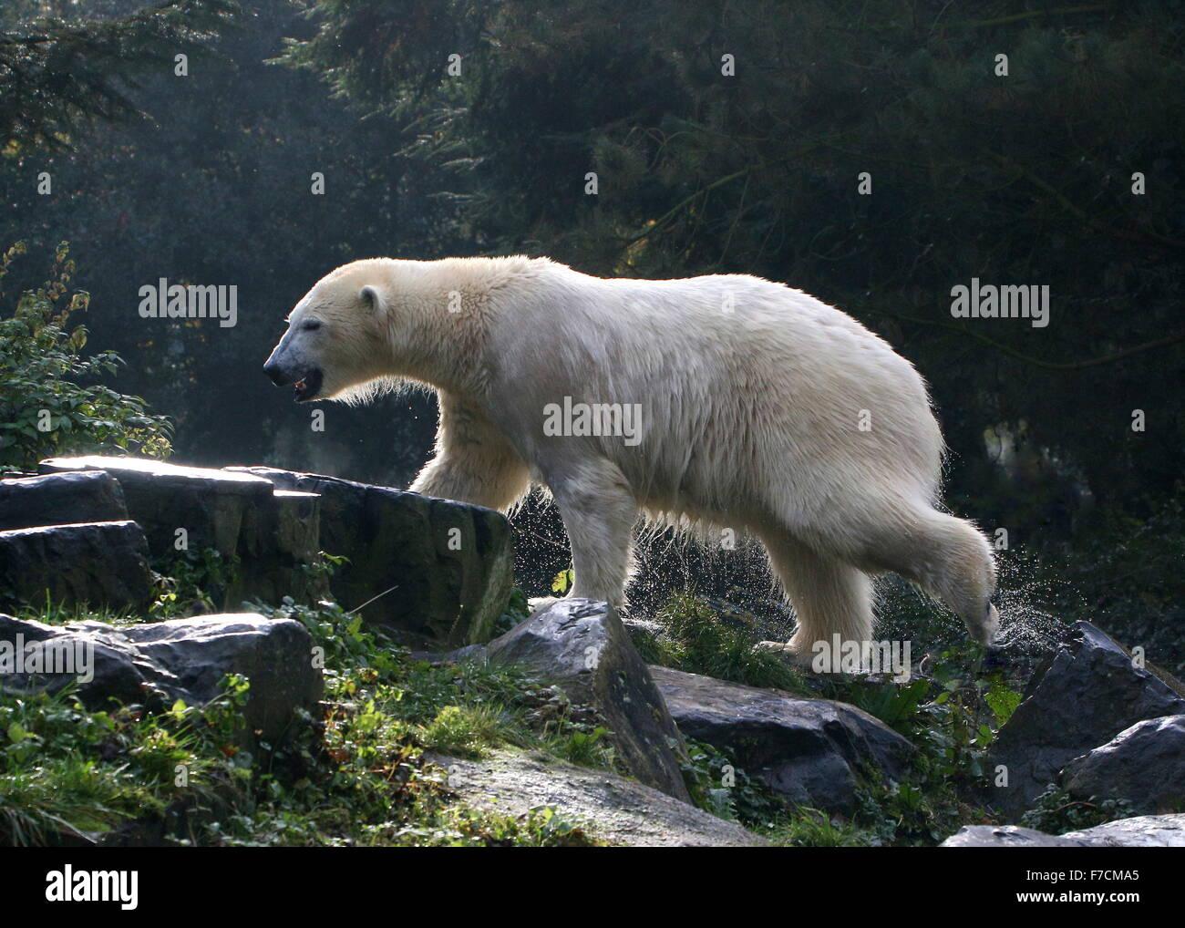 Empapando madurar el oso polar (Ursus maritimus) justo después de salir a la superficie del agua iluminado Imagen De Stock