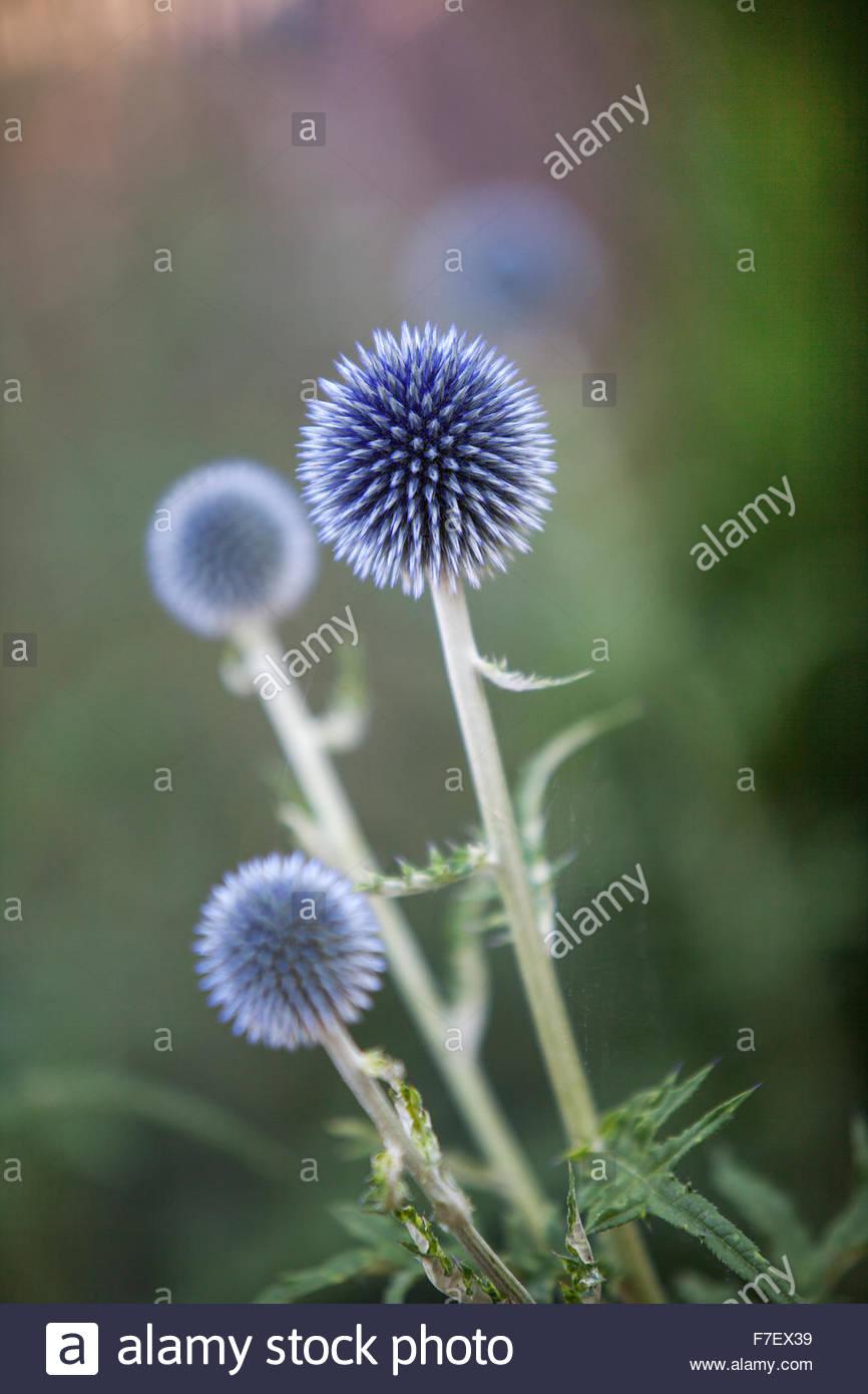 Echinops ritro, Globe thistle - jardín de verano Imagen De Stock