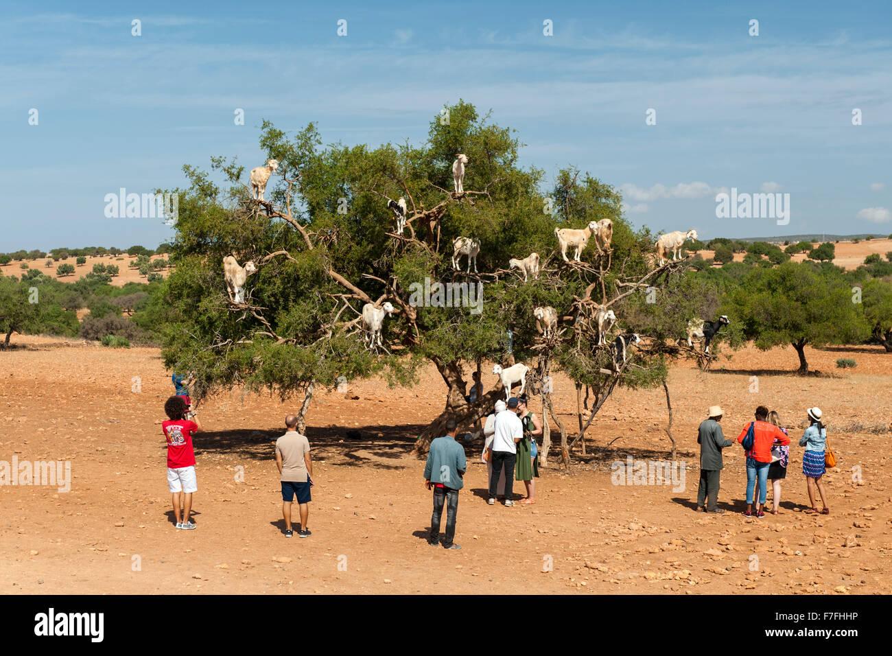 Las cabras en un árbol en la carretera de Marrakech a Essaouira en Marruecos. Imagen De Stock