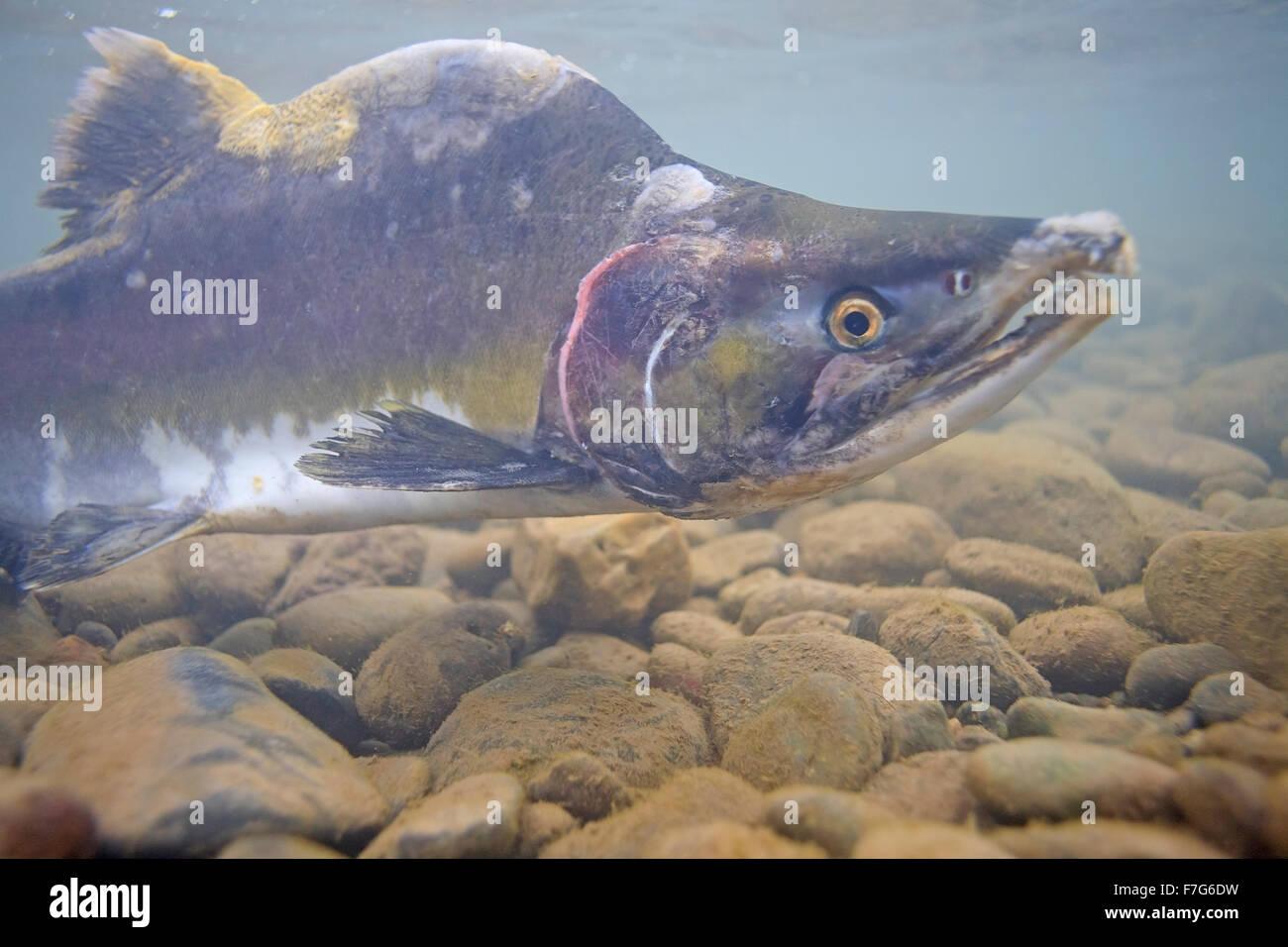 Macho salmón rosado (Oncorhynchus gorbuscha ), río Bulkley, Smithers, A.C. Imagen De Stock