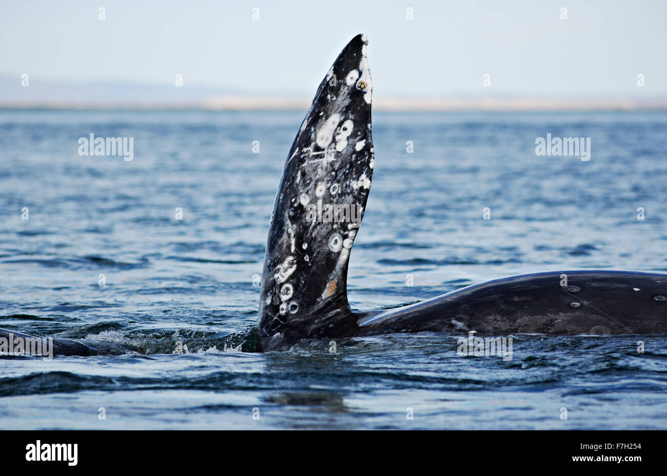 Pr0211-D. La ballena gris (Eschrichtius robustus) sobre su costado, con la aleta pectoral en posición vertical. Baja California Sur, México. Photo Copyright © Brandon Foto de stock