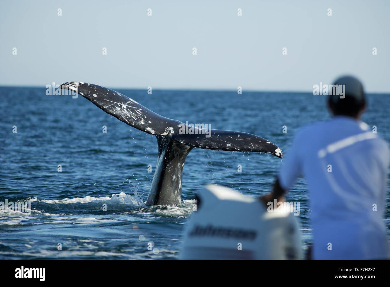 Pr0327-D. La ballena gris (Eschrichtius robustus) cola. Baja California Sur, México. Photo Copyright © Brandon Cole. Todos los derechos reservados Foto de stock