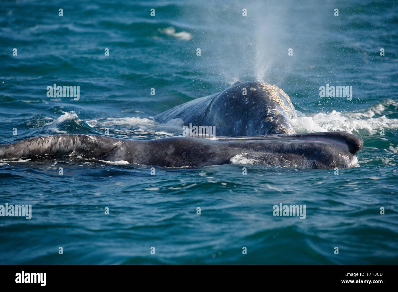 Pr5191-D. Las ballenas grises (Eschrichtius robustus), madre (detrás) y de la pantorrilla (parte delantera, en el lado con la boca abierta). San Ignacio, Baja Foto de stock