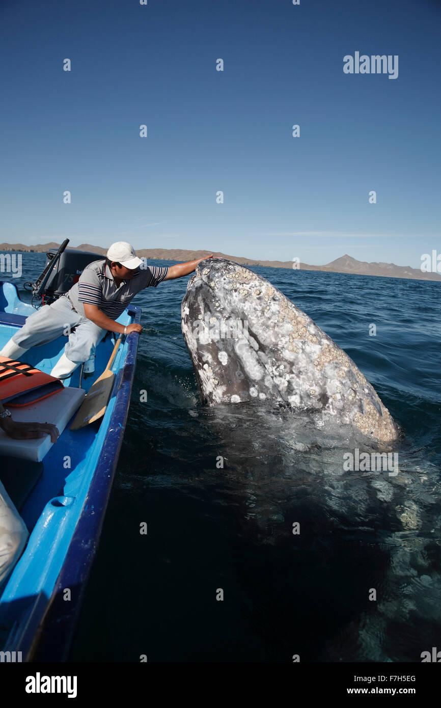 Pr7208-D. La ballena gris (Eschrichtius robustus) spyhopping junto al barco. Bahía Magdalena, Baja California Imagen De Stock