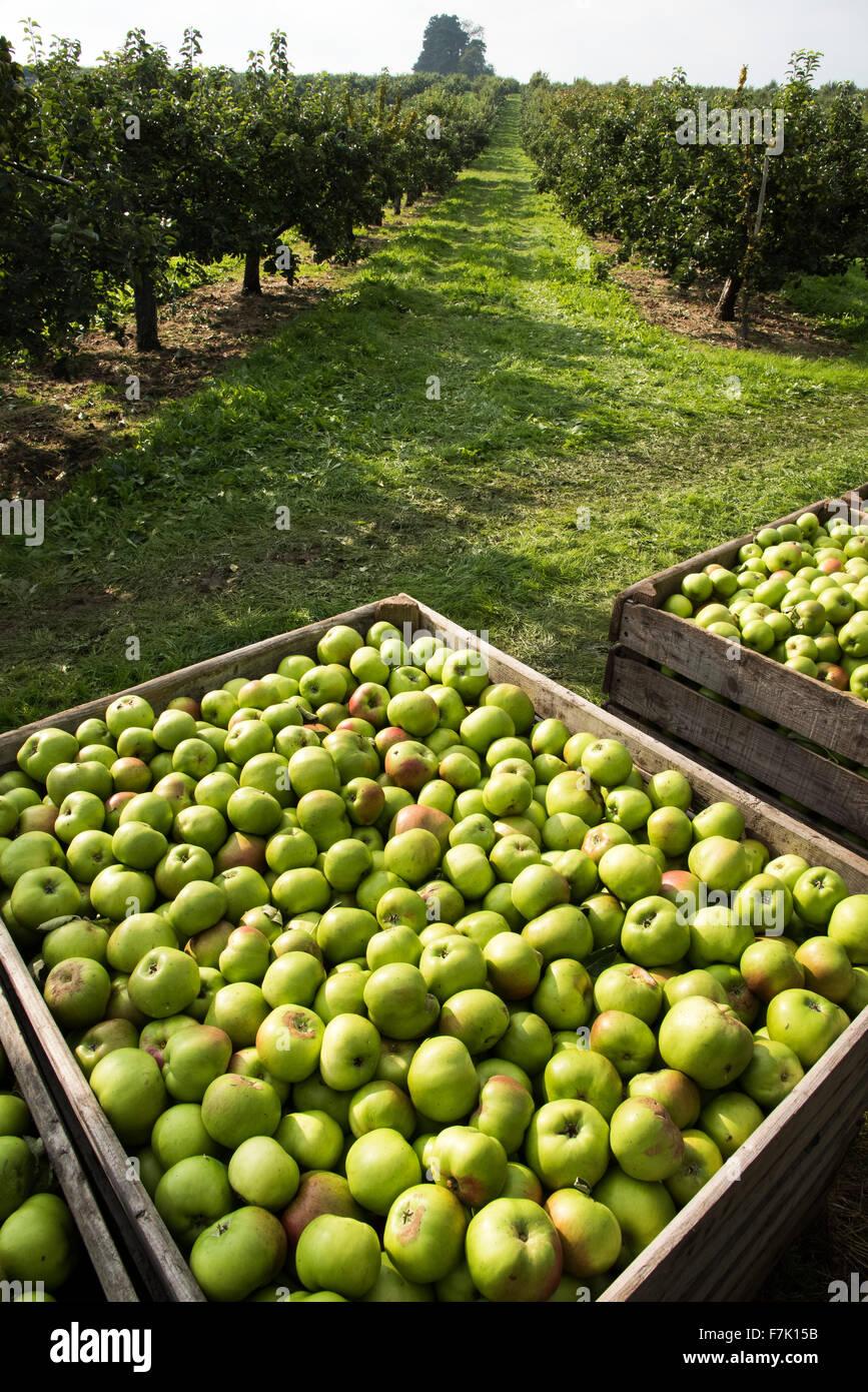 Cultivo de manzana, Co. de Armagh, Irlanda del Norte Imagen De Stock