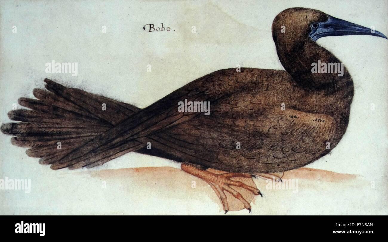 """""""Bobo"""", pájaro; acuarela por John White, circa 1585 Imagen De Stock"""