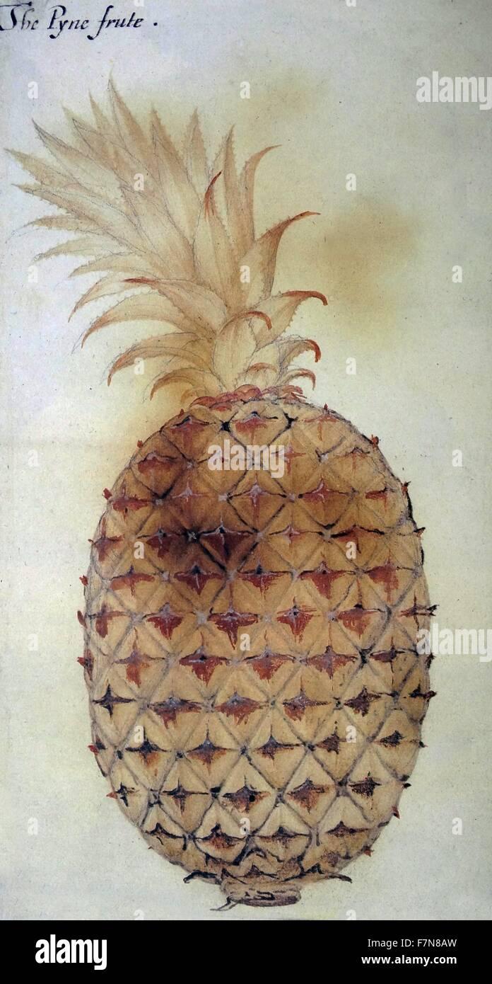 """La Pyne frute"", acuarela de John White, circa 1585 Imagen De Stock"