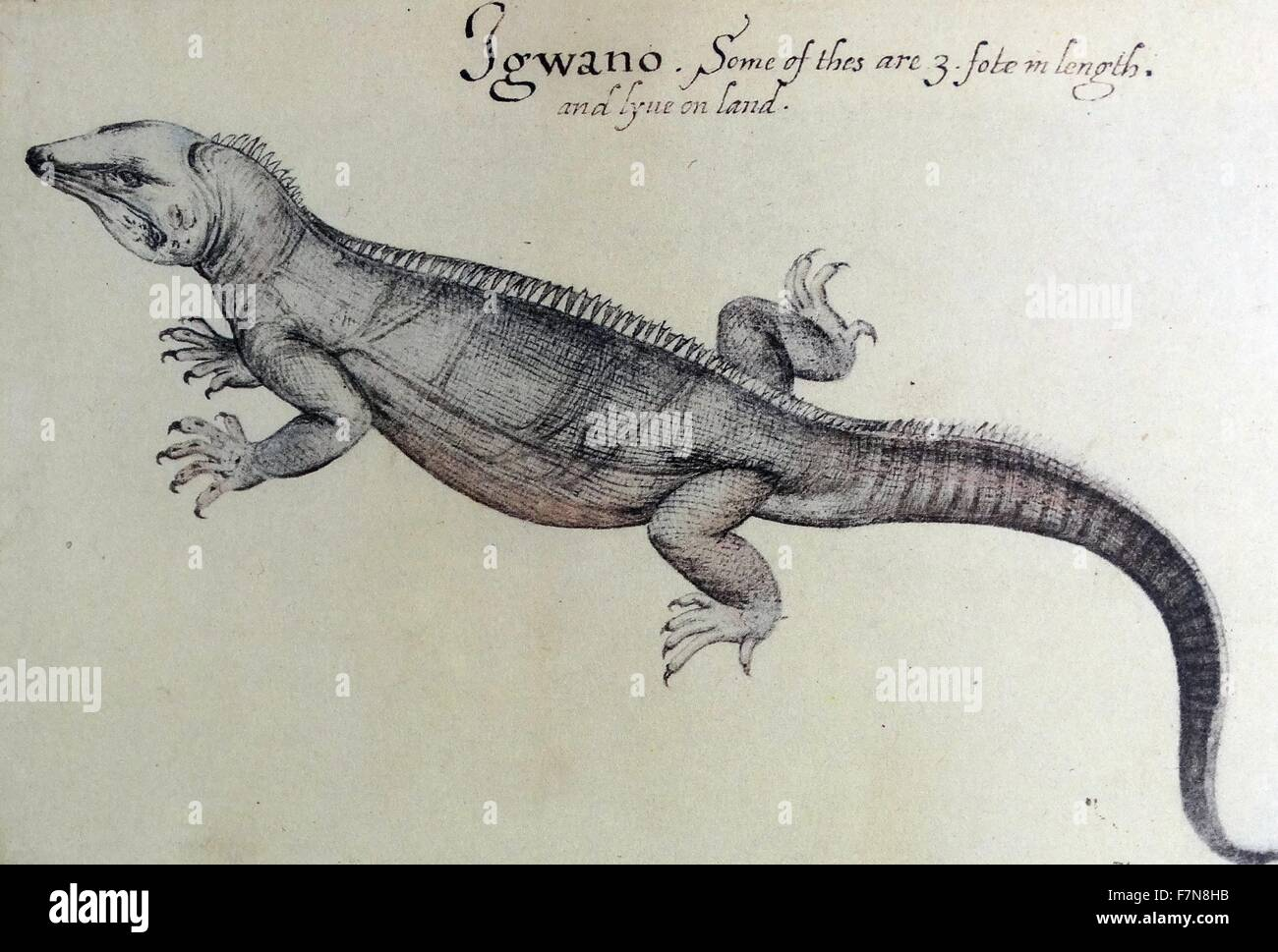 Acuarela de una iguana creado por John White (1585-1586). Imagen De Stock