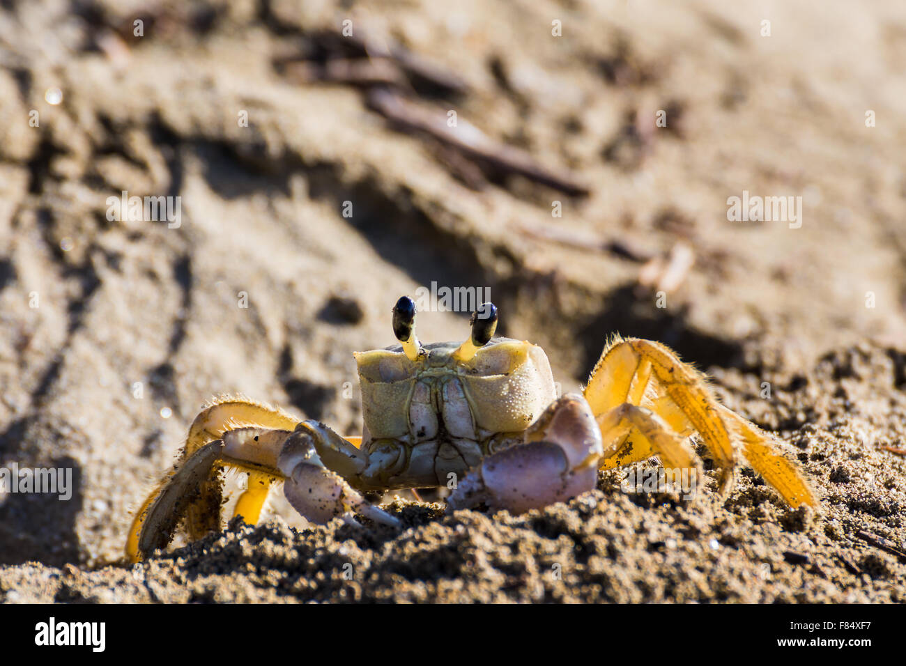 Un adulto de cangrejo de arena junto a su madriguera en Playa Yaguanabo explora la playa de alimentos como el sol sale detrás de él. Foto de stock