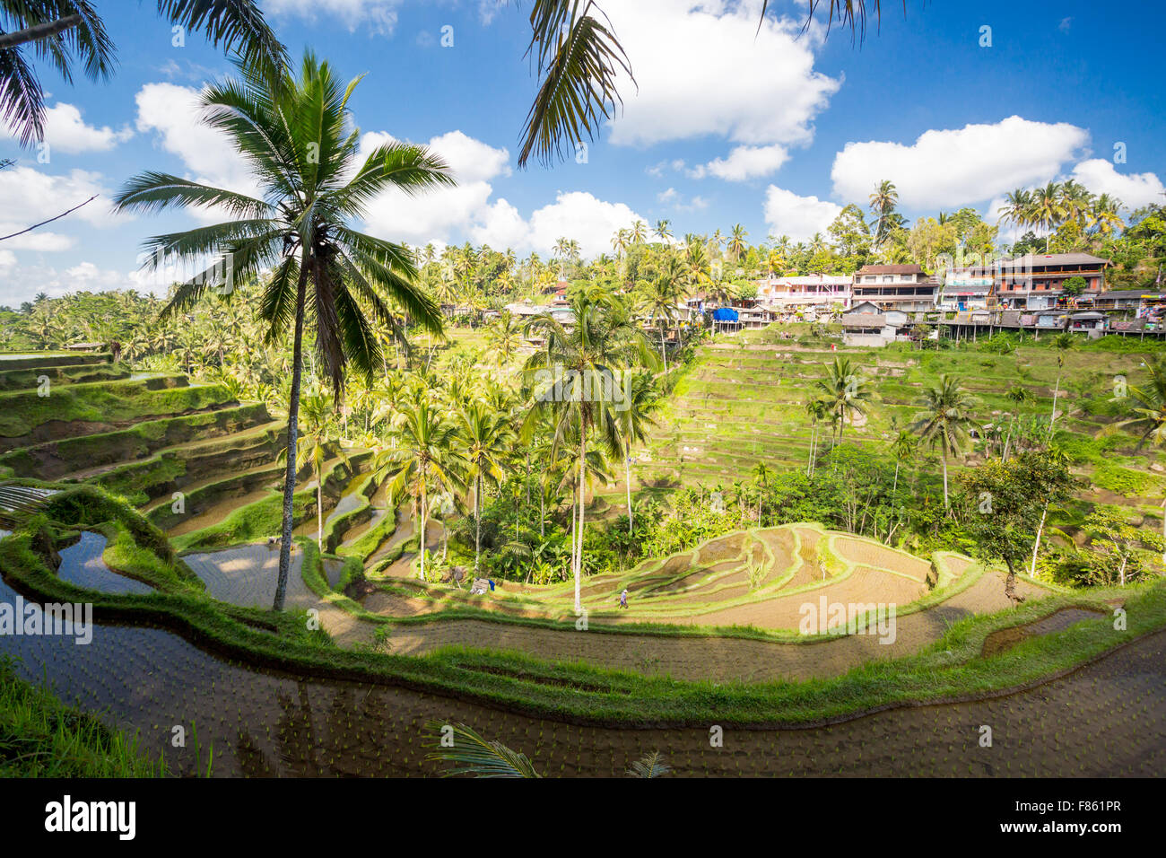 Los cultivos de los campos de arroz de una calurosa tarde soleada cerca de Ubud, Bali, Indonesia Imagen De Stock