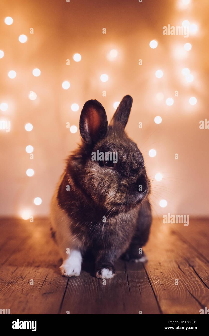 Conejo durante las vacaciones de Navidad Foto de stock