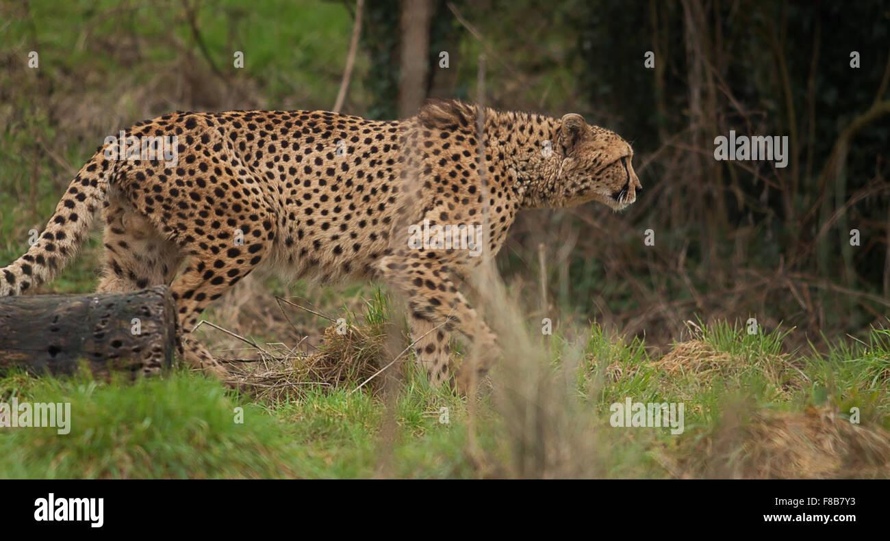 Foto de una alerta de guepardo macho Imagen De Stock