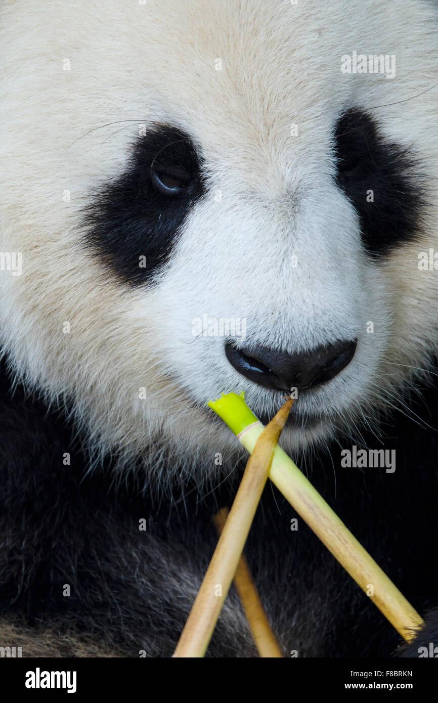 Panda Comiendo Bambú Centro de Cría de Panda Chengdu Sichuan China MA003080 Imagen De Stock