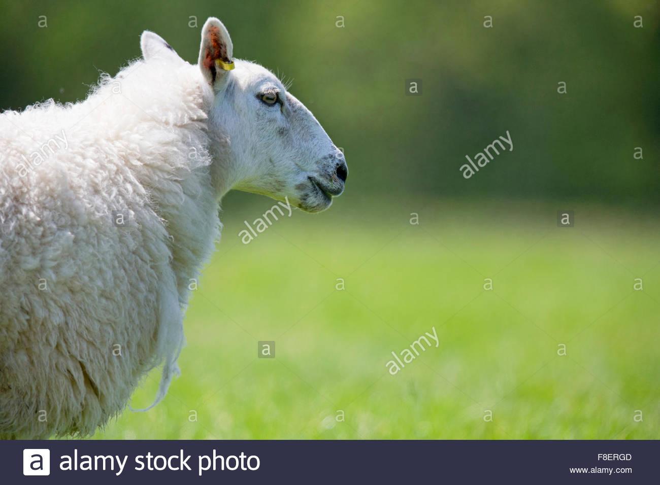 Vista lateral de las ovejas en la soleada verde hierba de primavera Imagen De Stock