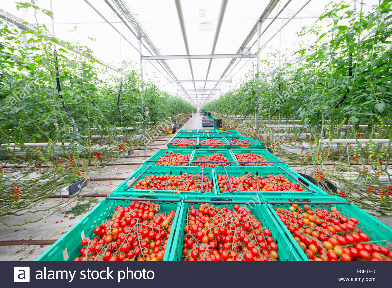 La abundancia de tomates de vid roja madura en jaulas en el invernadero Imagen De Stock