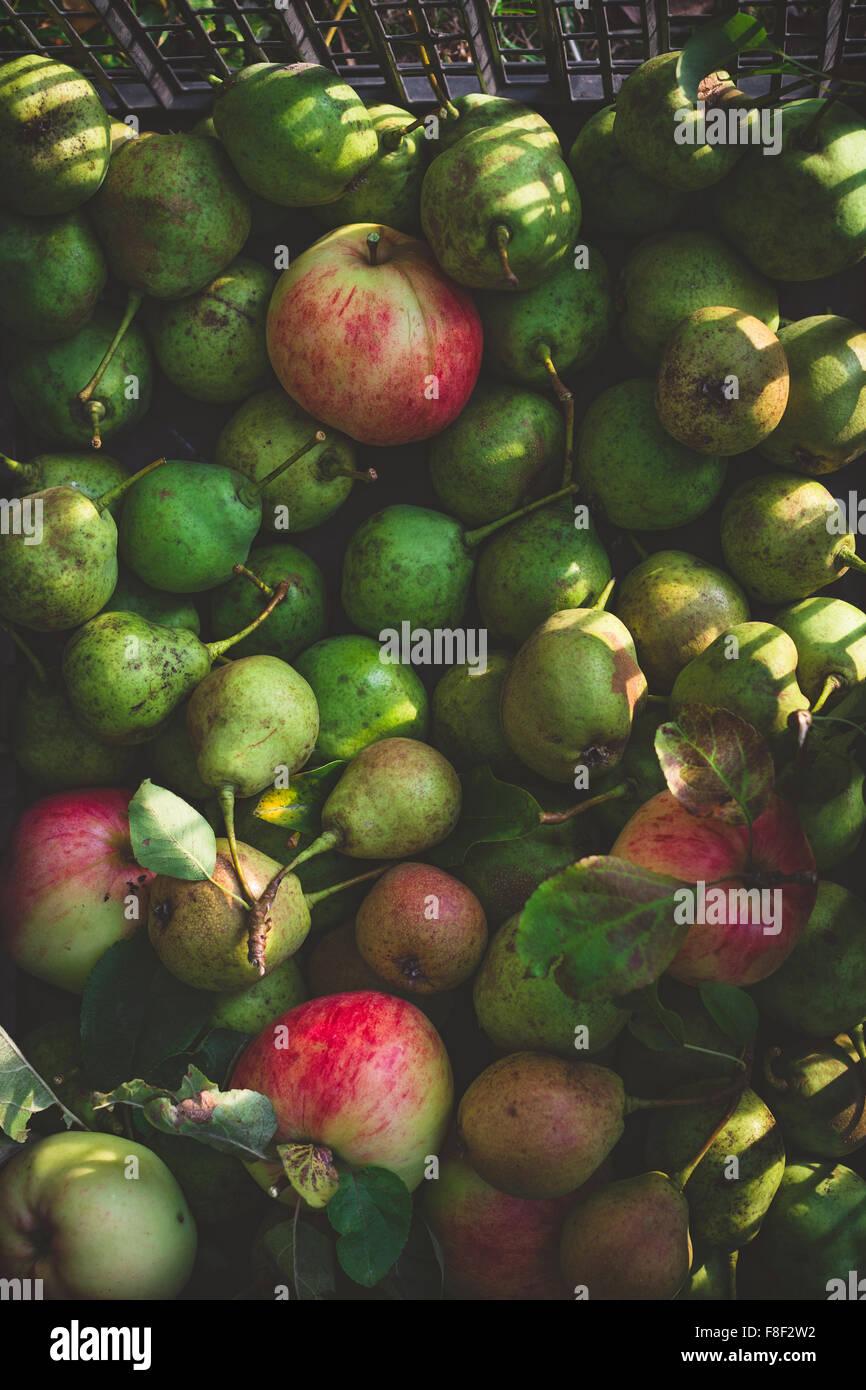 Cosecha de peras y manzanas verdes Imagen De Stock
