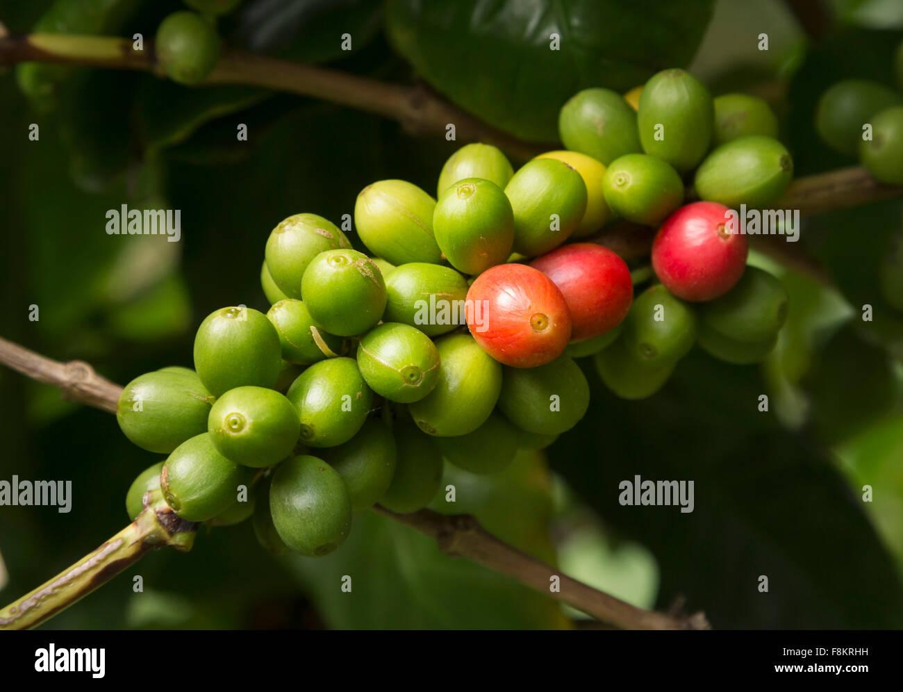 Montón de rojo y verde rojo hawaiano Kona Coffee beans en la rama de la plantación de Kauai, Hawaii Foto de stock