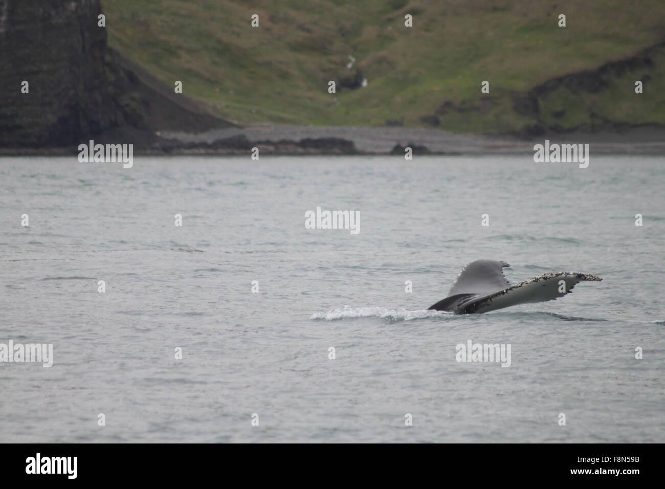 Ballena Jorobada bucear cerca de la orilla de la Bahía de Skjalfandi Husavik al nordeste de Islandia Europa Foto de stock