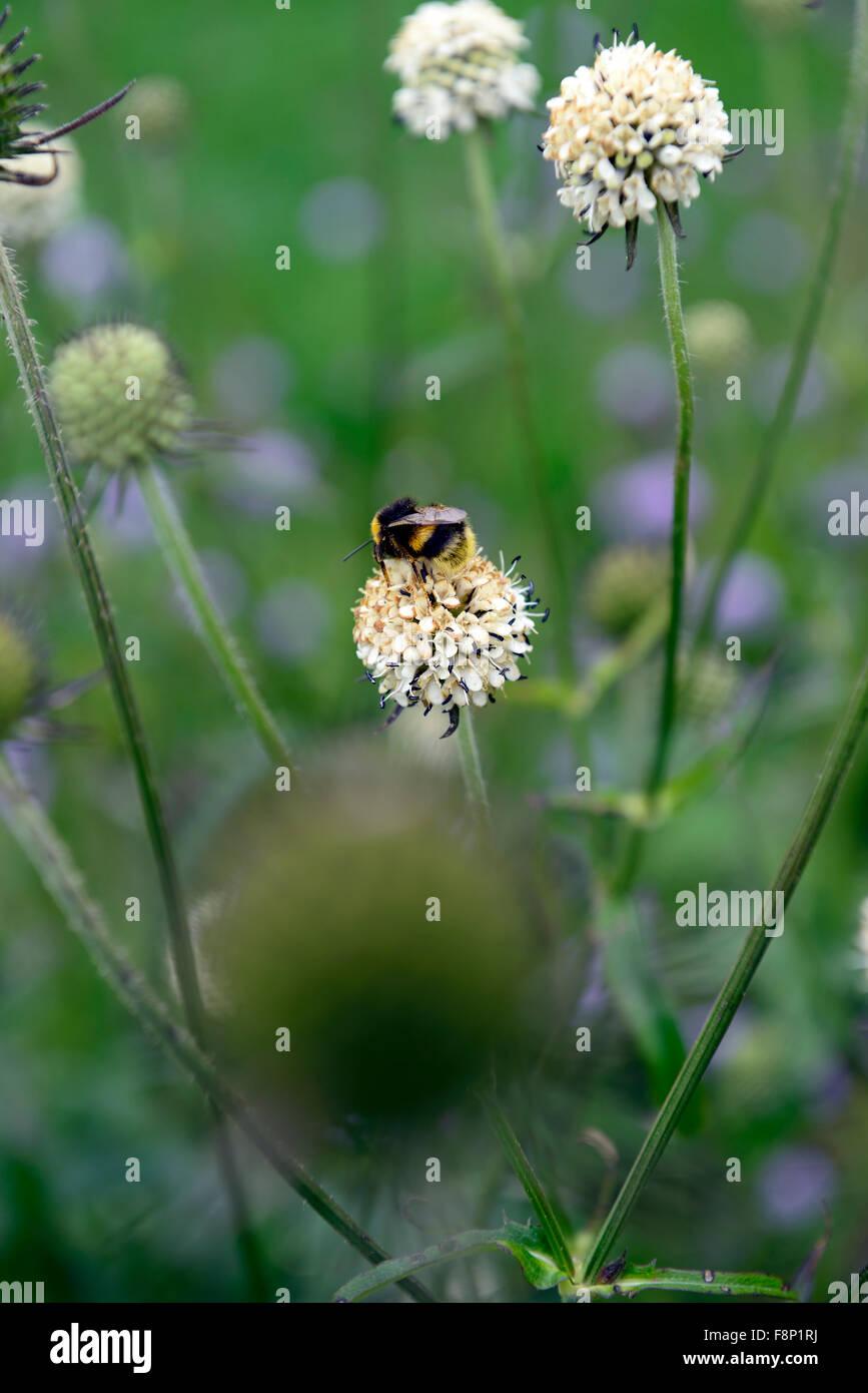Teasel Dipsacus Asper Chino Flores Flores Blancas Flores Silvestres
