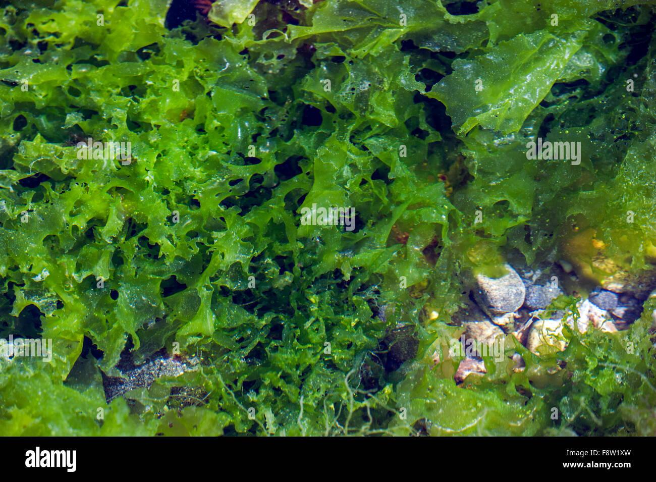 La lechuga de mar (Ulva lactuca) en el grupo de rock Foto de stock