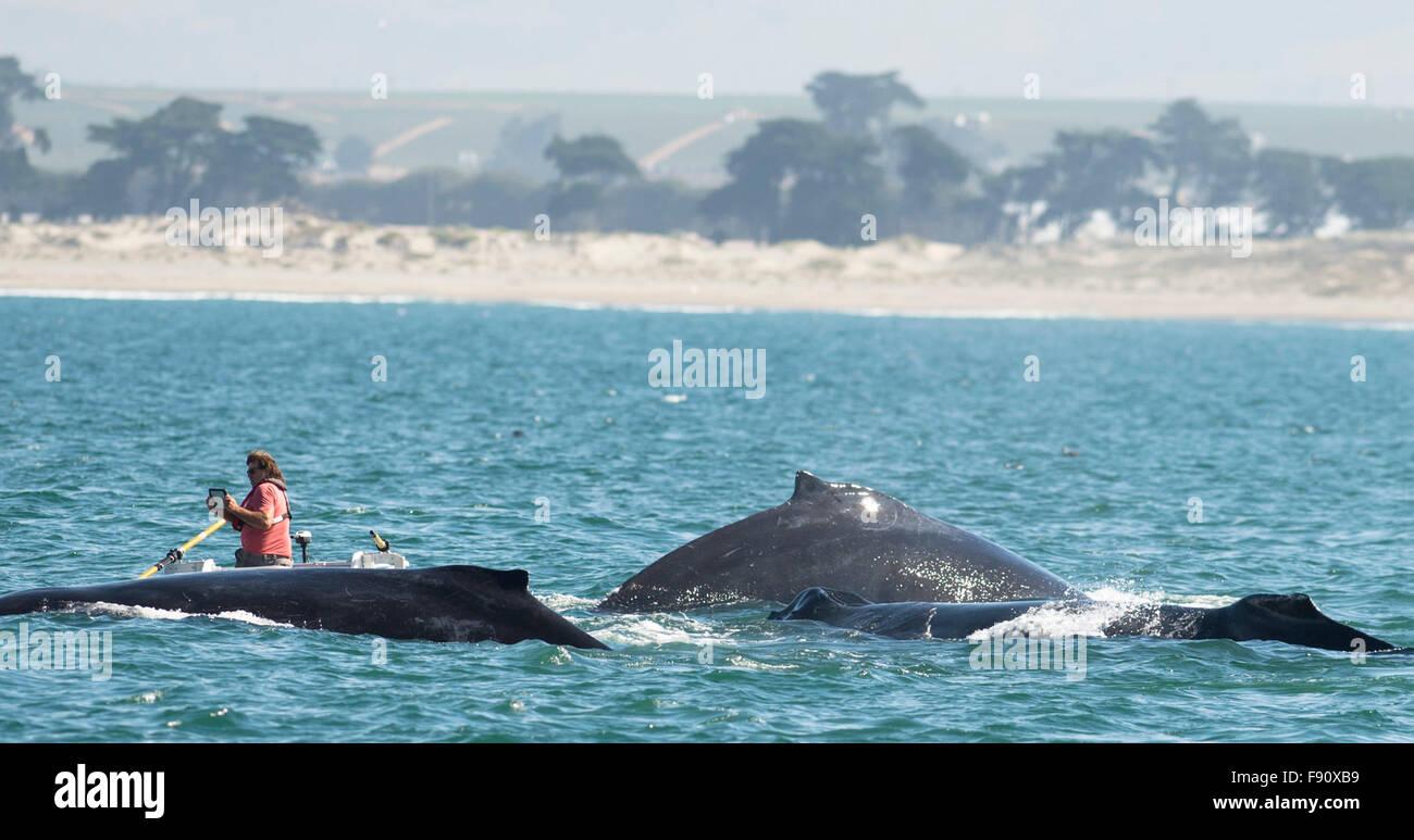 Monterey, ESTADOS UNIDOS. 12 dic, 2015. Un visitante toma fotos de una ballena en Monterey, California, Estados Imagen De Stock