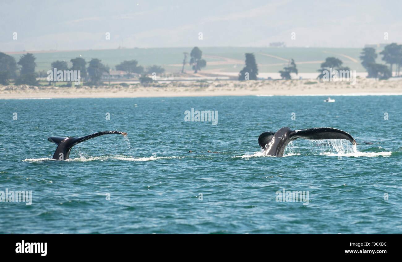 Monterey, ESTADOS UNIDOS. 12 dic, 2015. Foto tomada el 28 de agosto, 2015 muestra ballenas en Monterey, California, Imagen De Stock