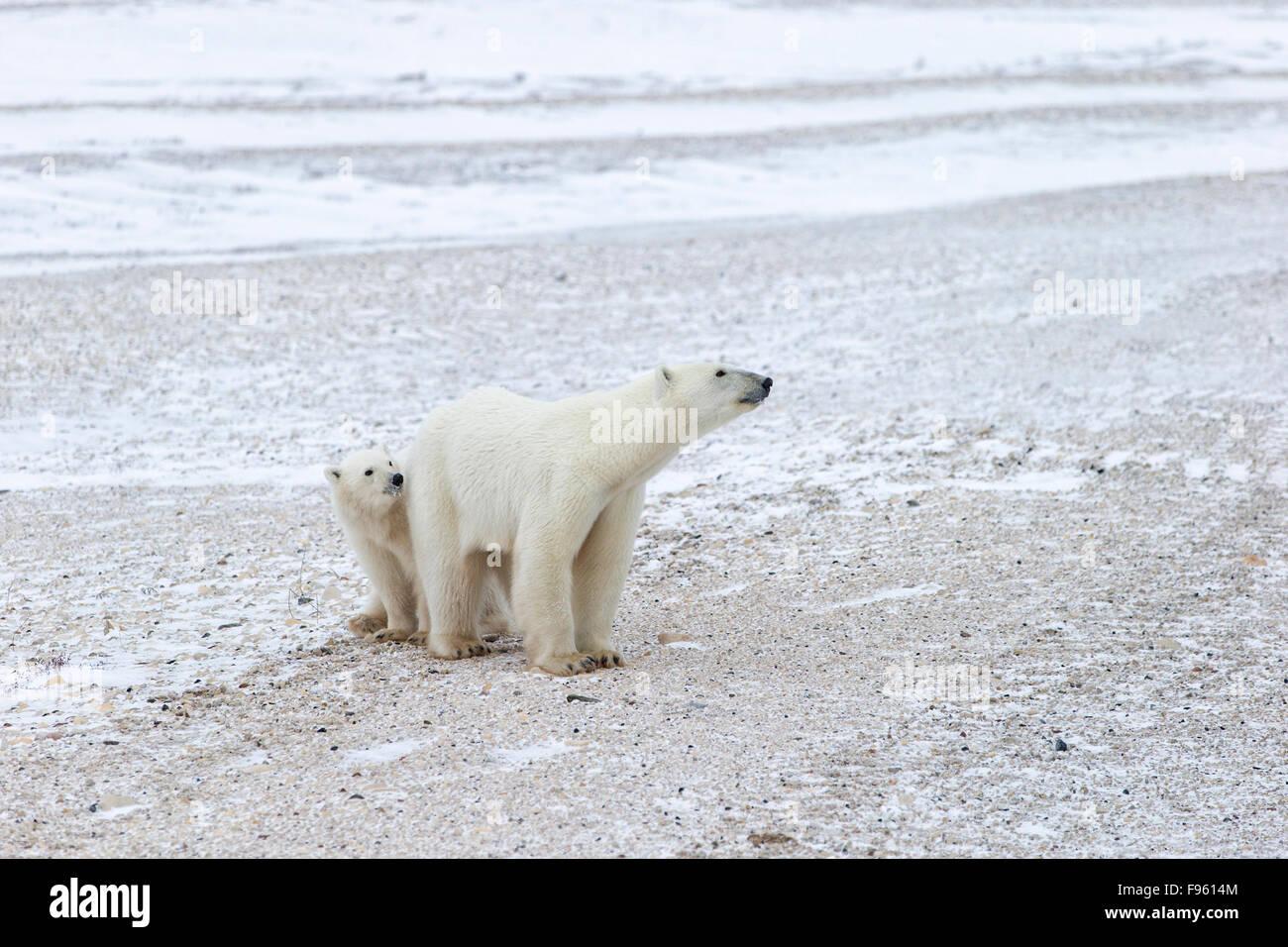 El oso polar (Ursus maritimus), hembra y un cachorro del año, Cabo Churchill, Parque Nacional Wapusk, Manitoba. Imagen De Stock